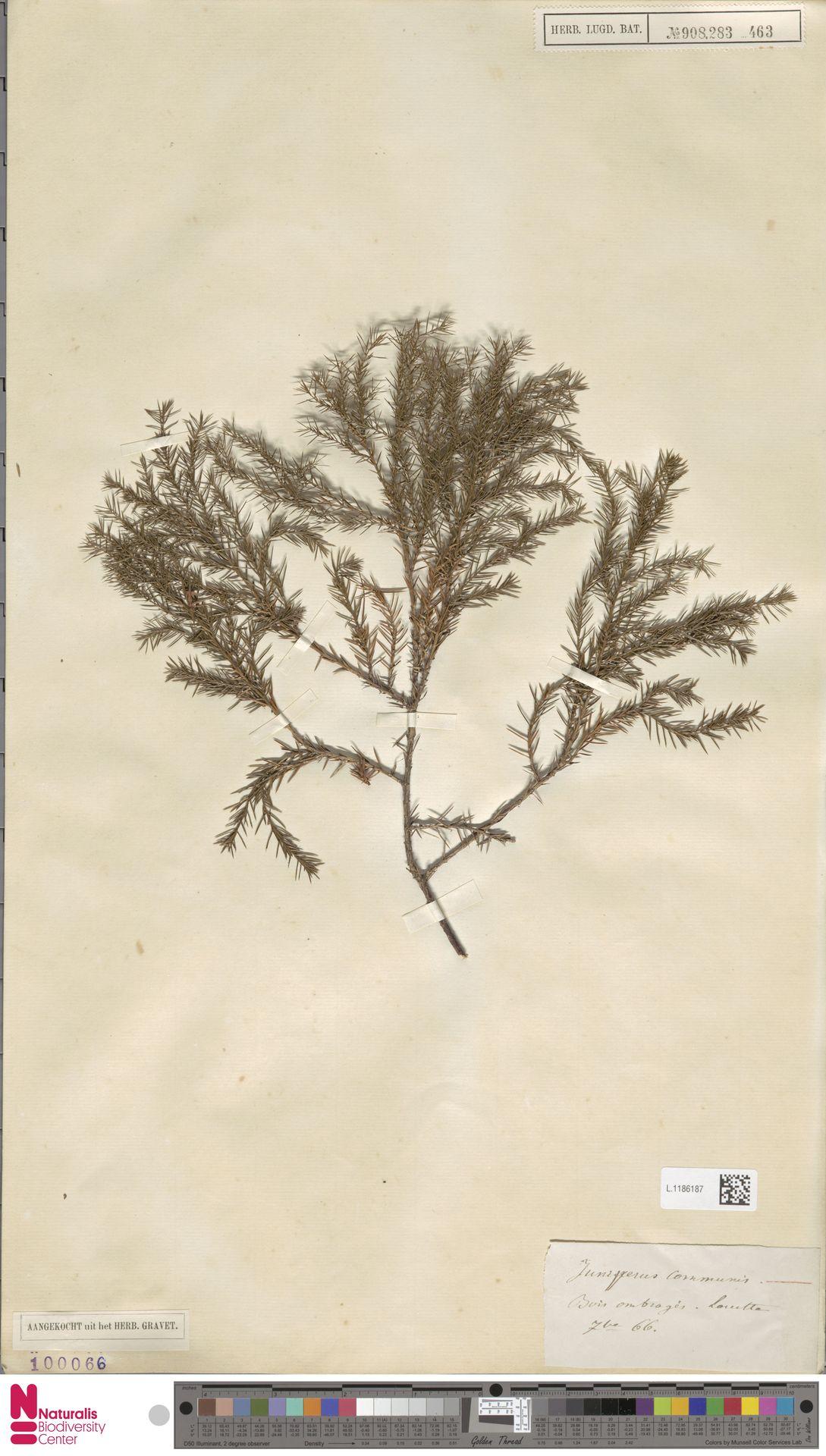 L.1186187 | Juniperus communis L.