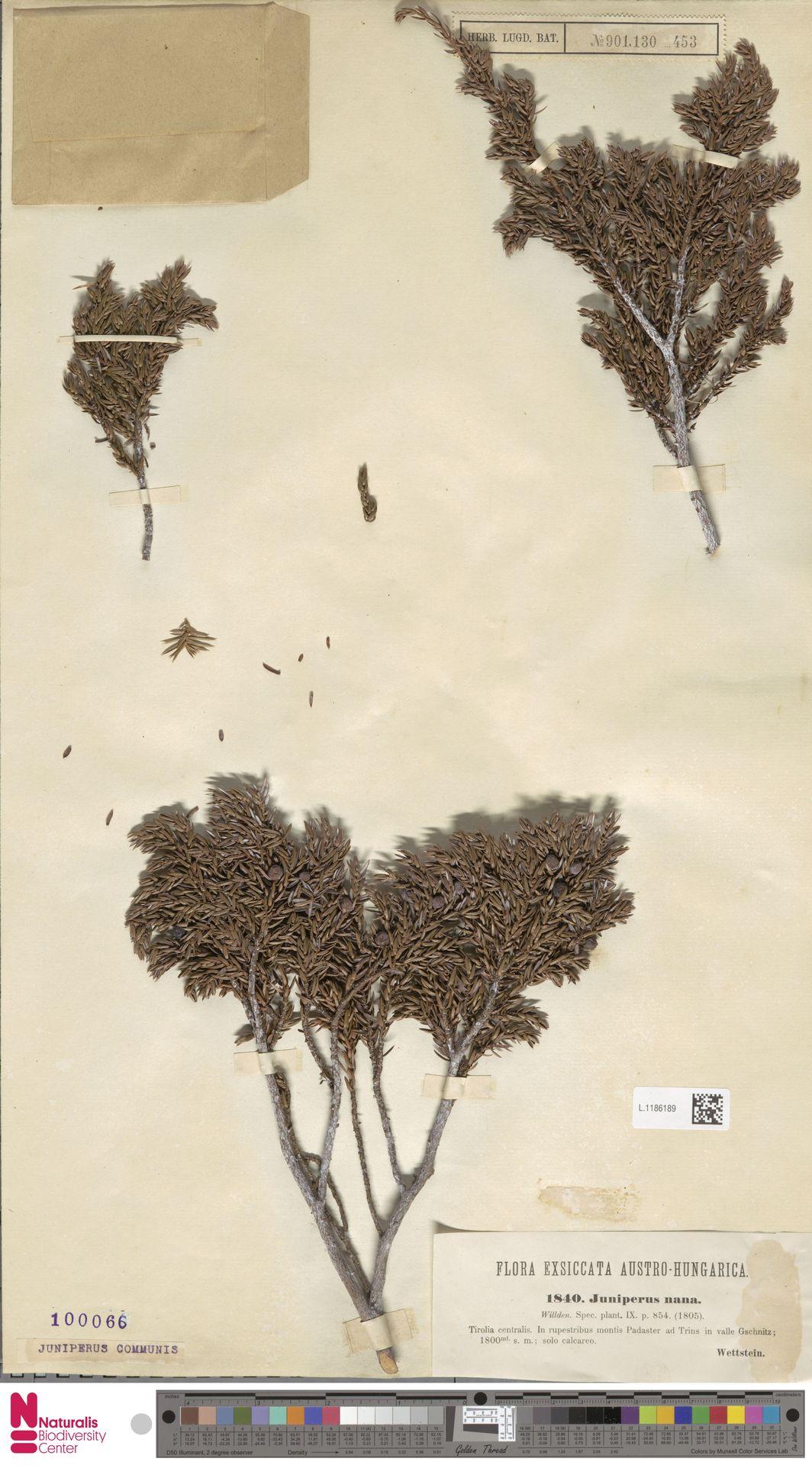 L.1186189 | Juniperus communis L.