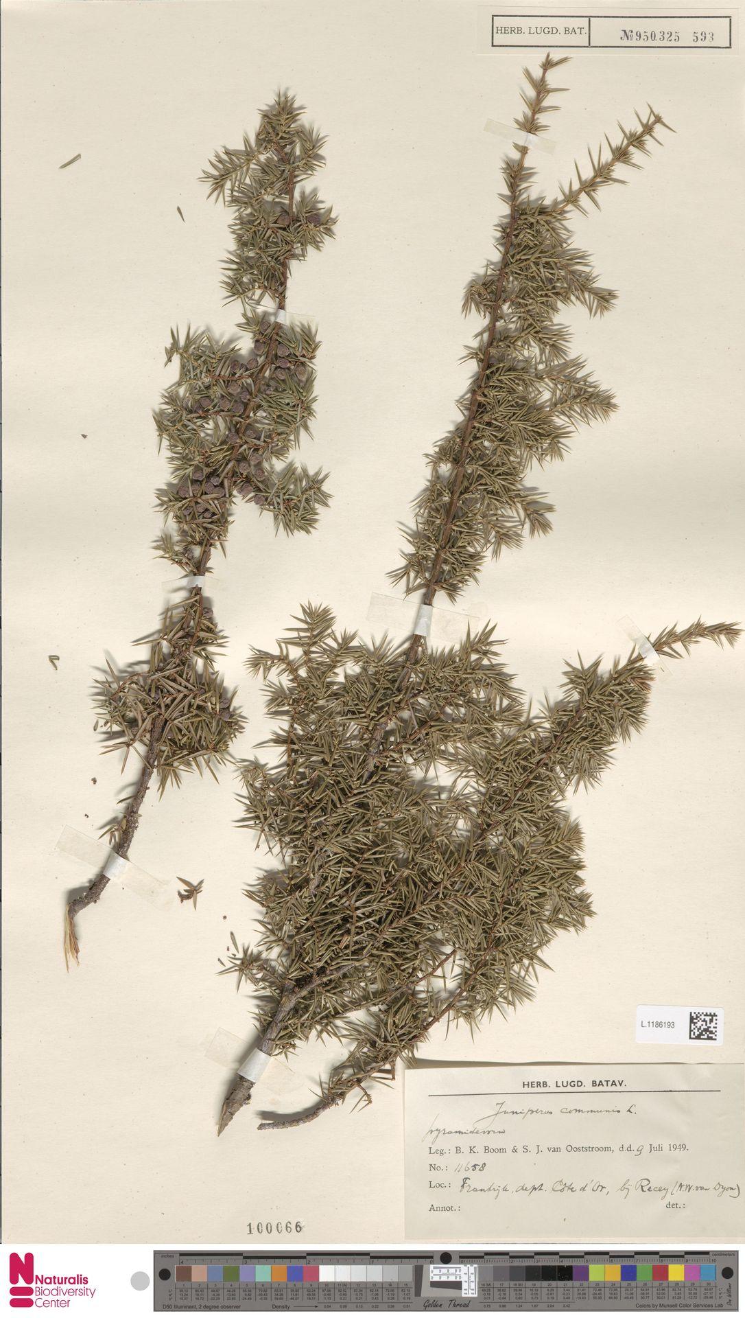 L.1186193   Juniperus communis L.