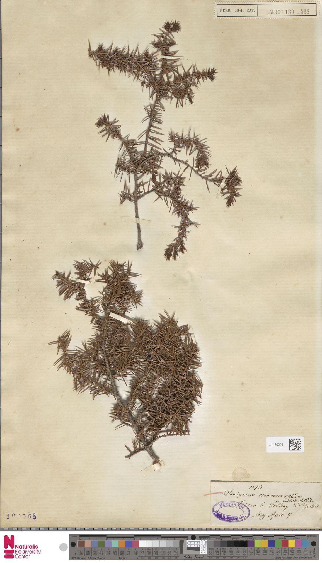 L.1186200 | Juniperus communis L.