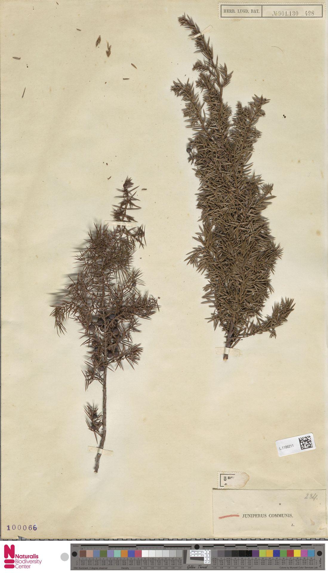 L.1186211 | Juniperus communis L.