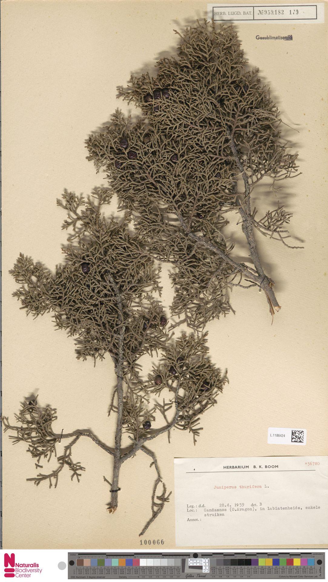 L.1186424 | Juniperus thurifera L.