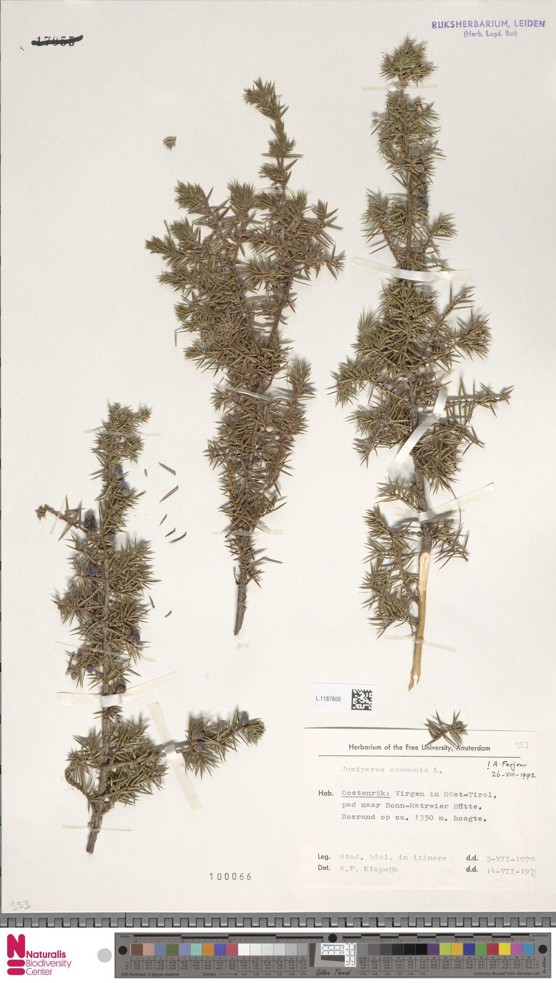 L.1187600 | Juniperus communis L.