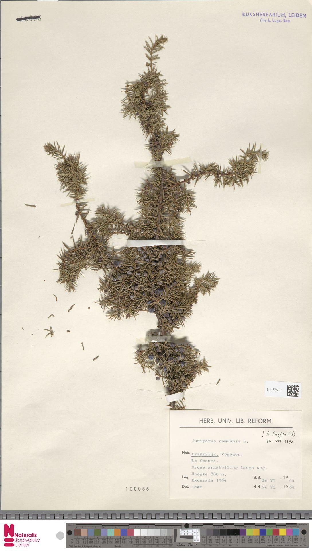 L.1187601 | Juniperus communis L.