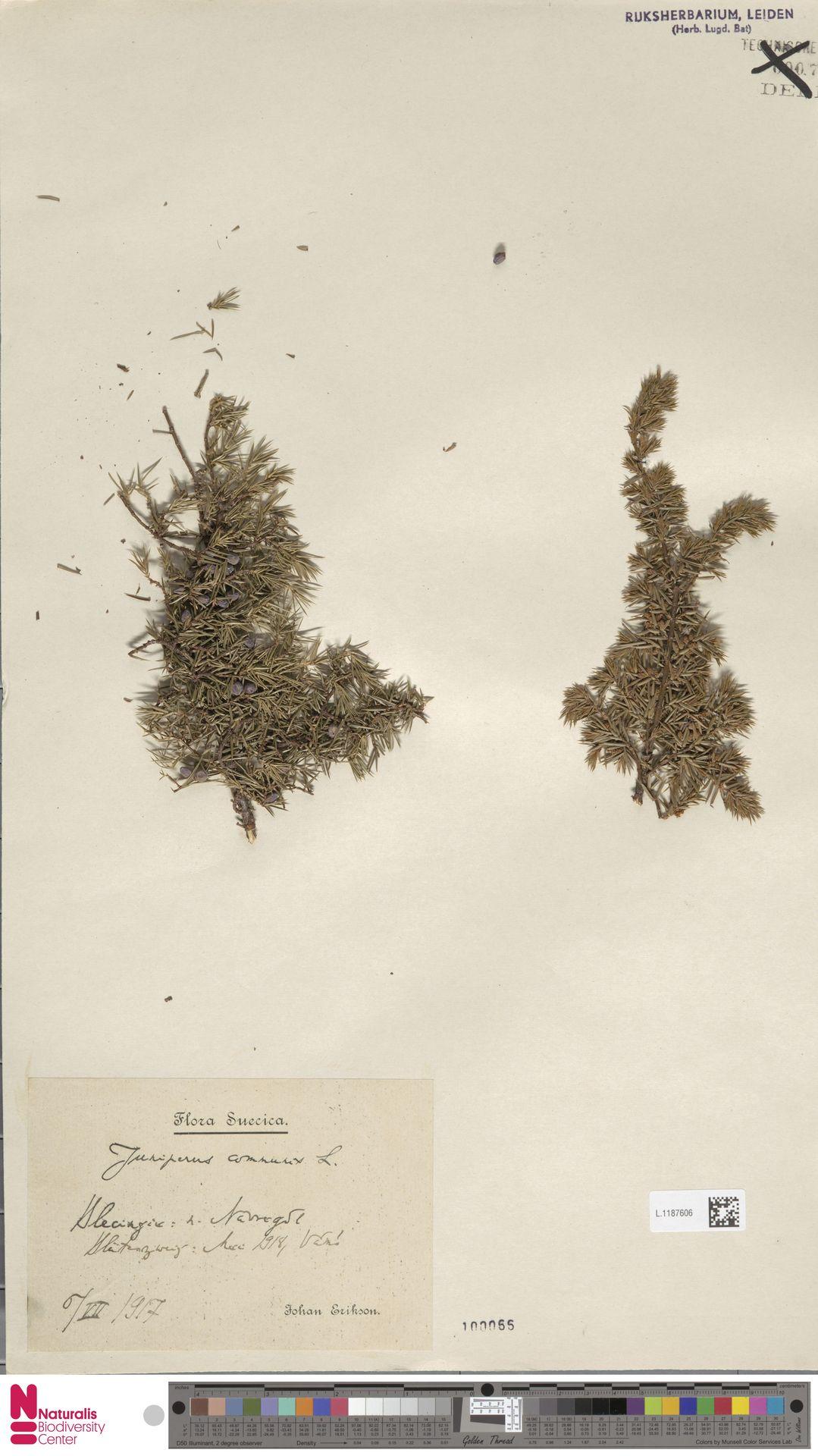 L.1187606   Juniperus communis L.