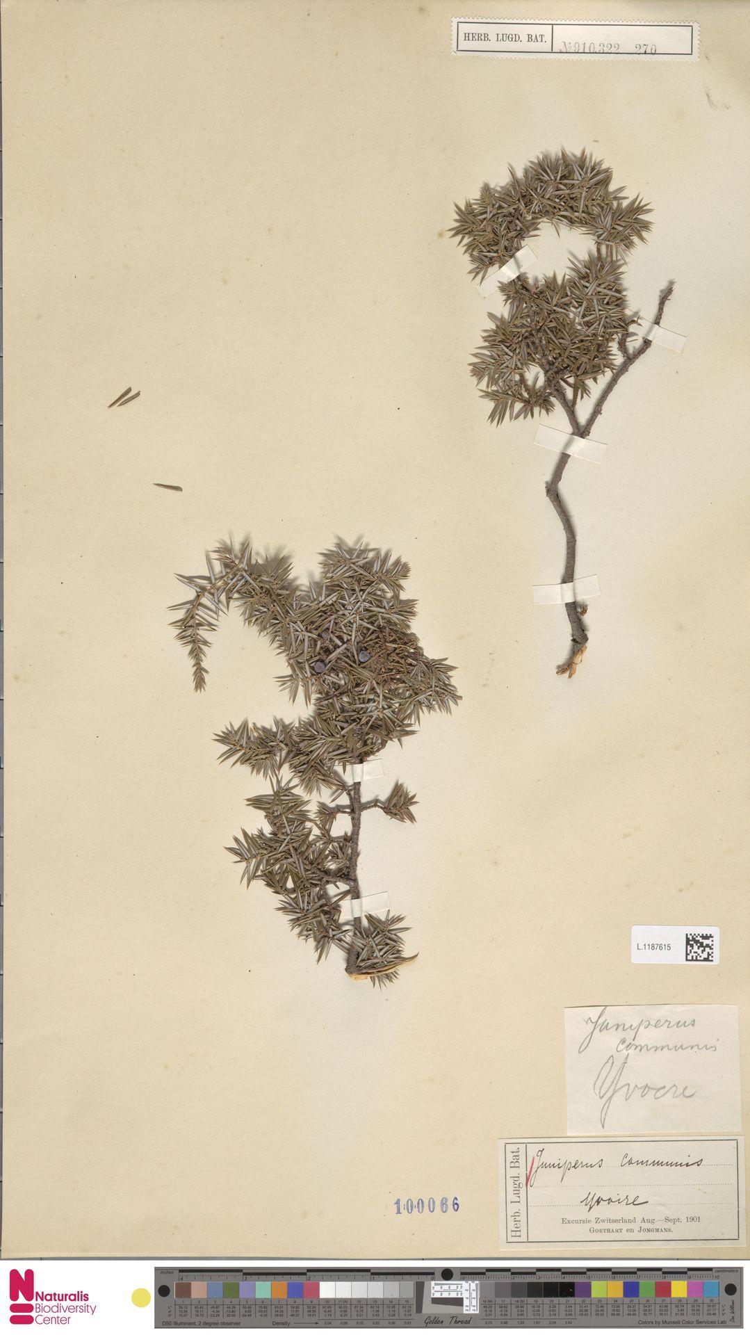 L.1187615 | Juniperus communis L.