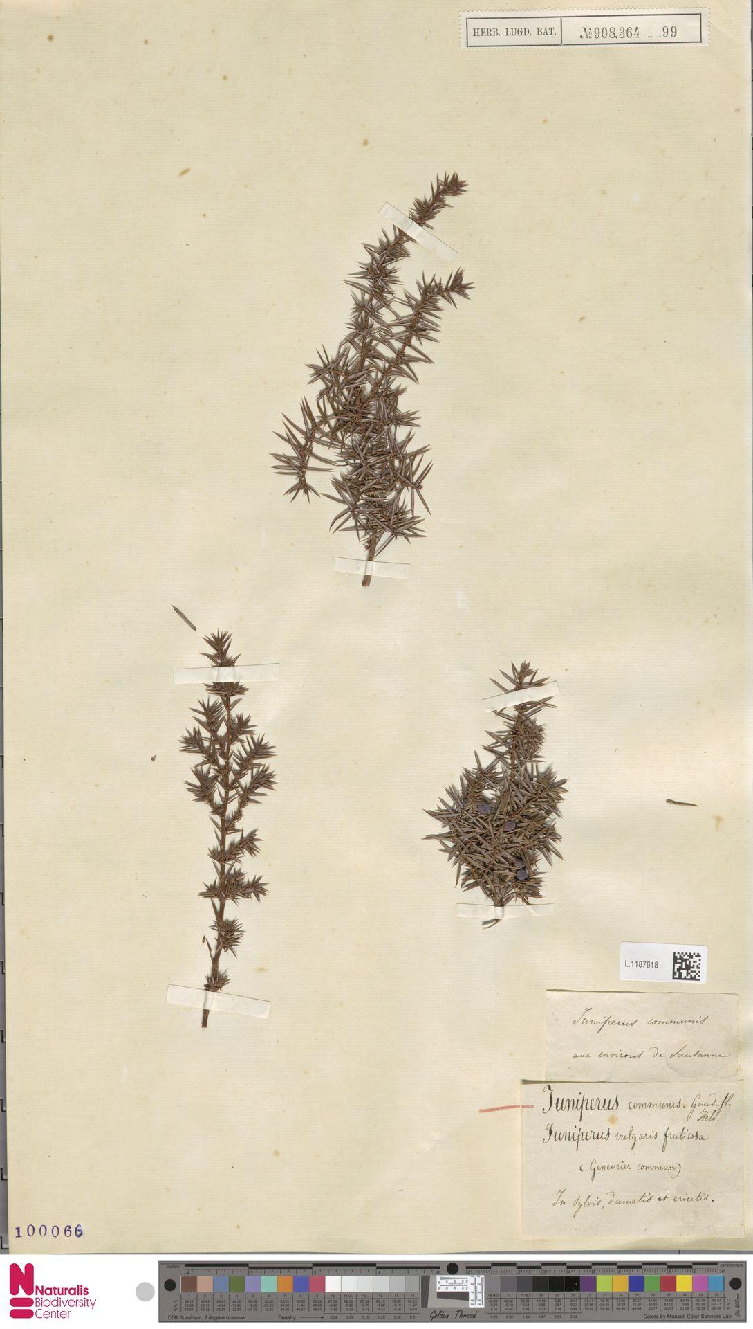 L.1187618   Juniperus communis L.