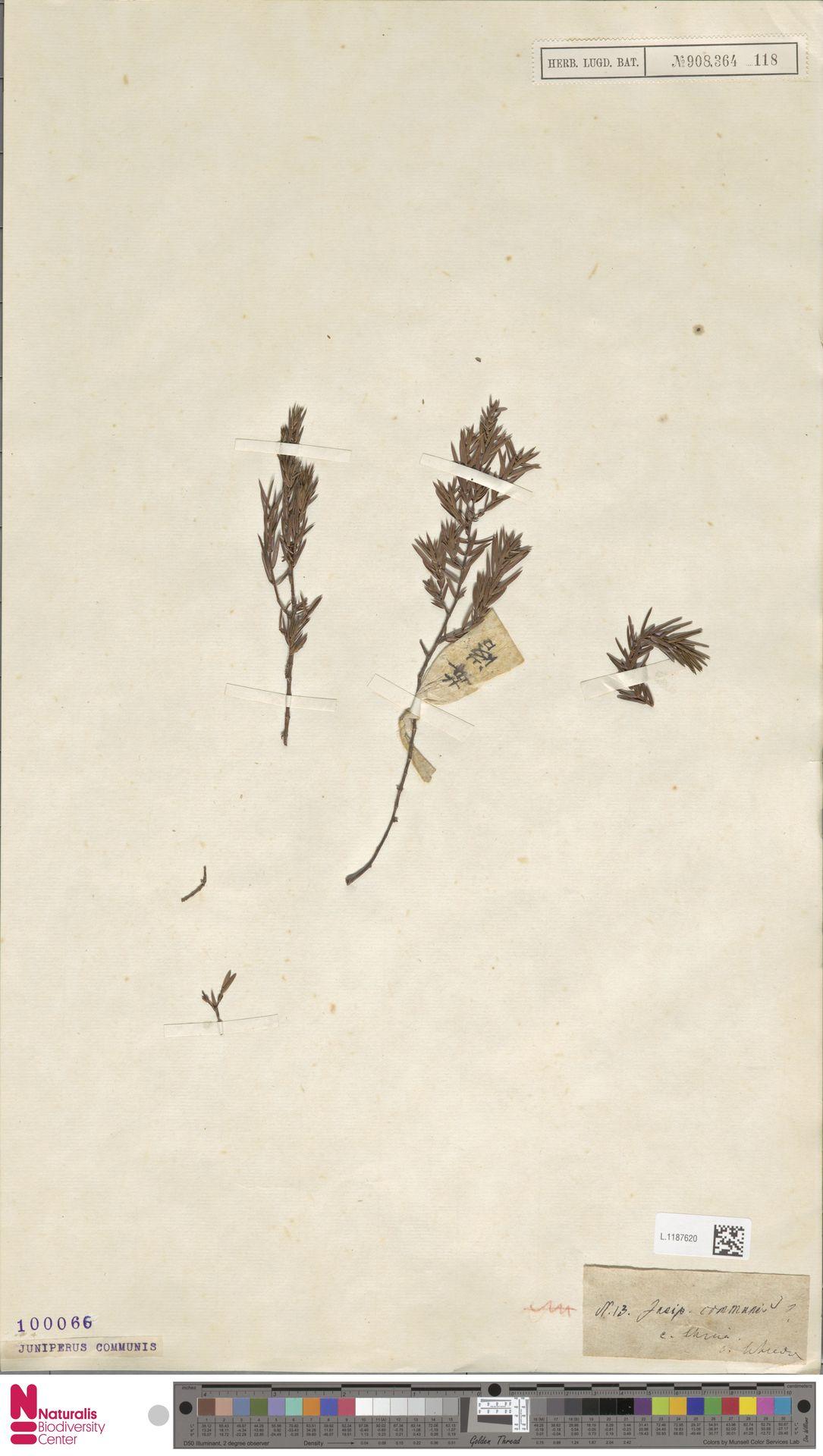 L.1187620   Juniperus communis L.