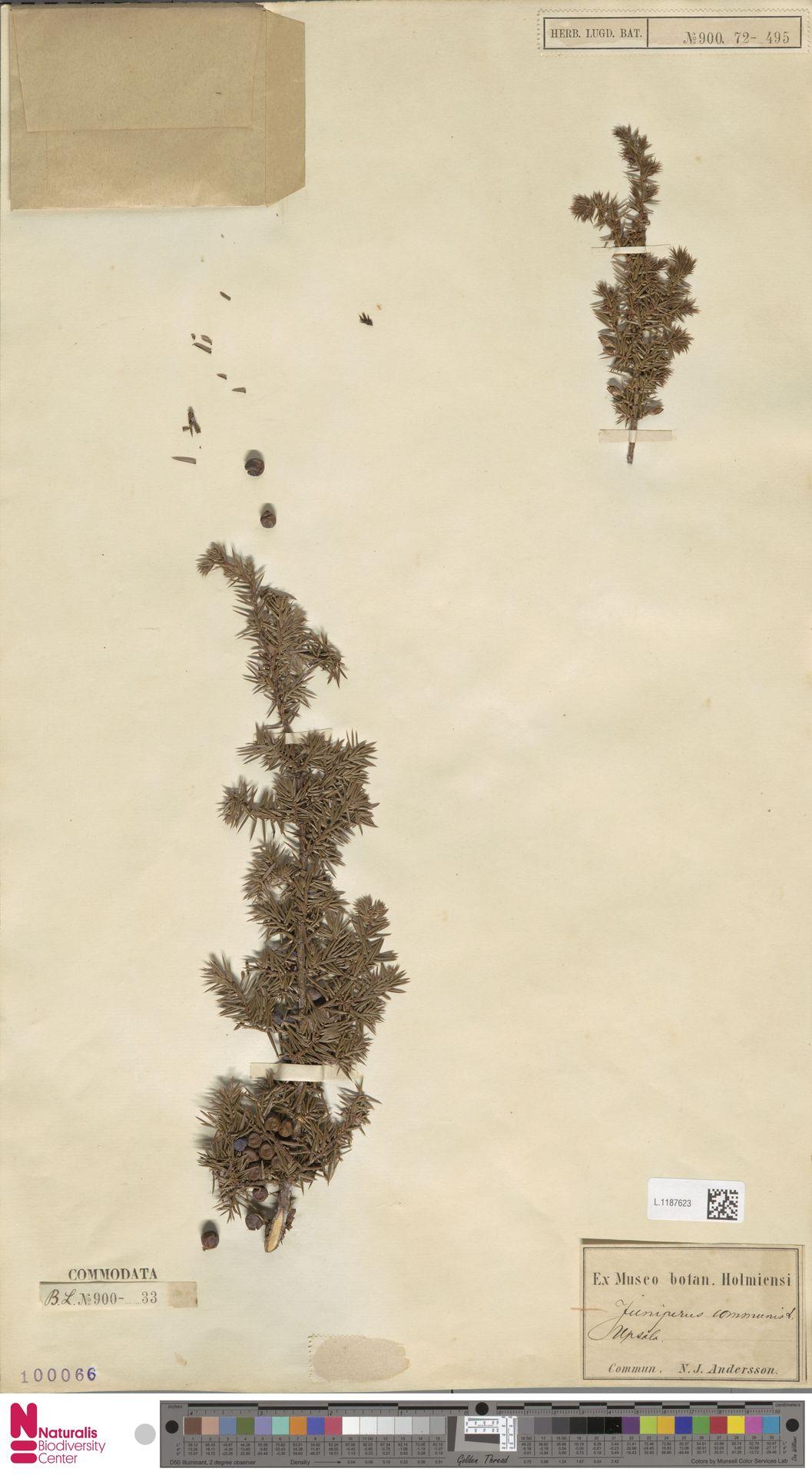 L.1187623 | Juniperus communis L.