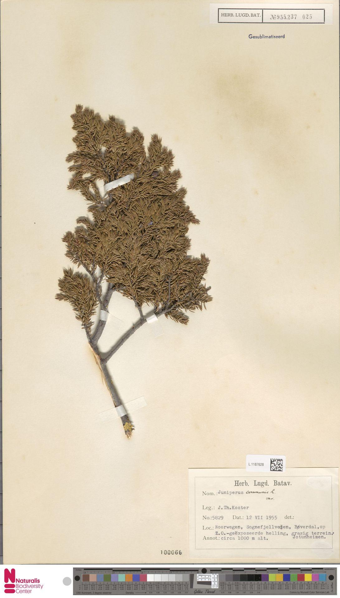 L.1187628 | Juniperus communis L.