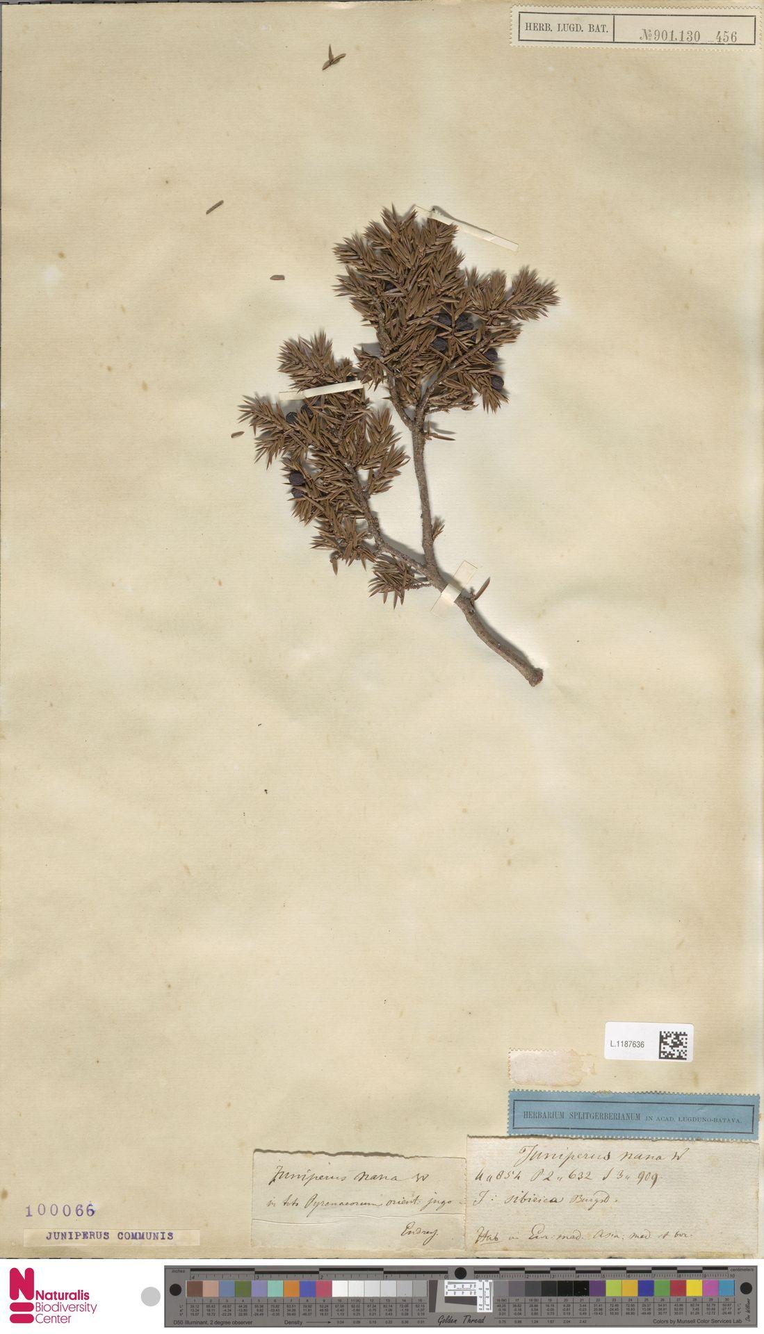 L.1187636 | Juniperus communis L.