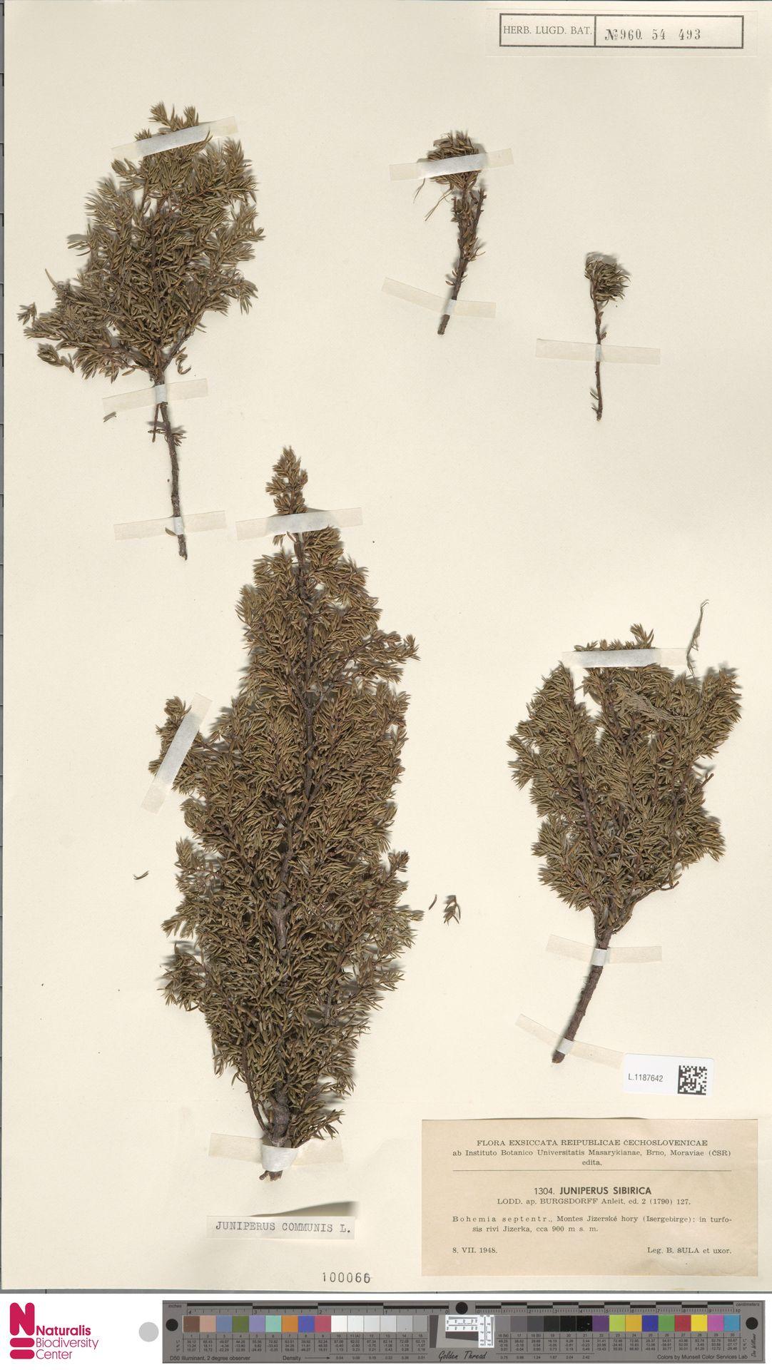 L.1187642 | Juniperus communis L.