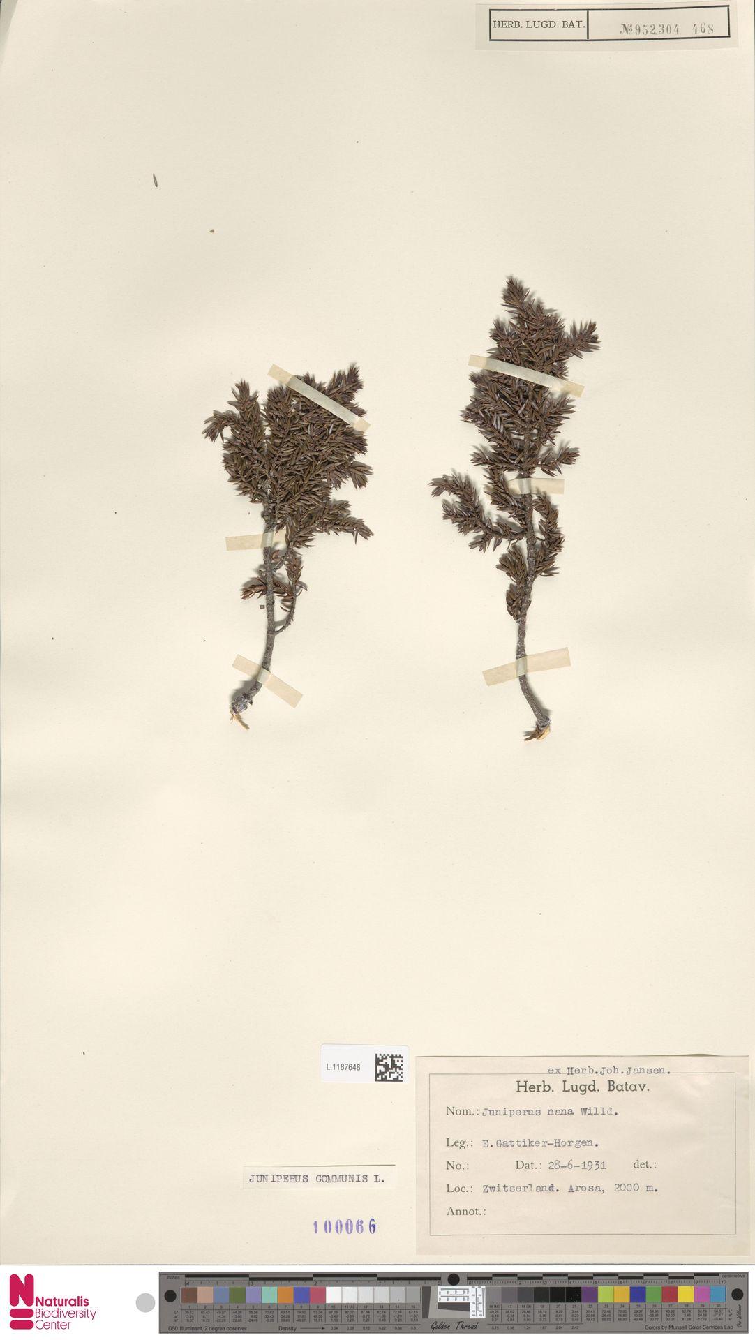 L.1187648   Juniperus communis L.