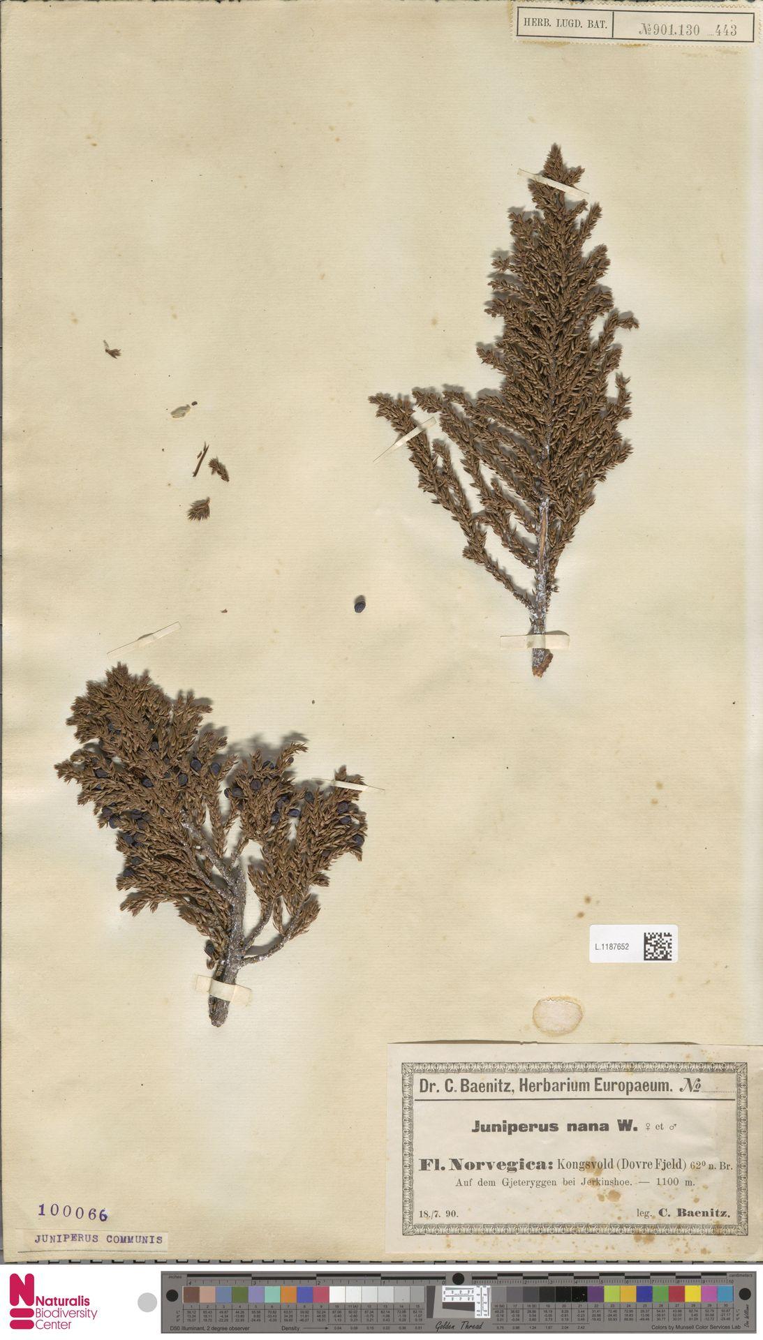 L.1187652 | Juniperus communis L.