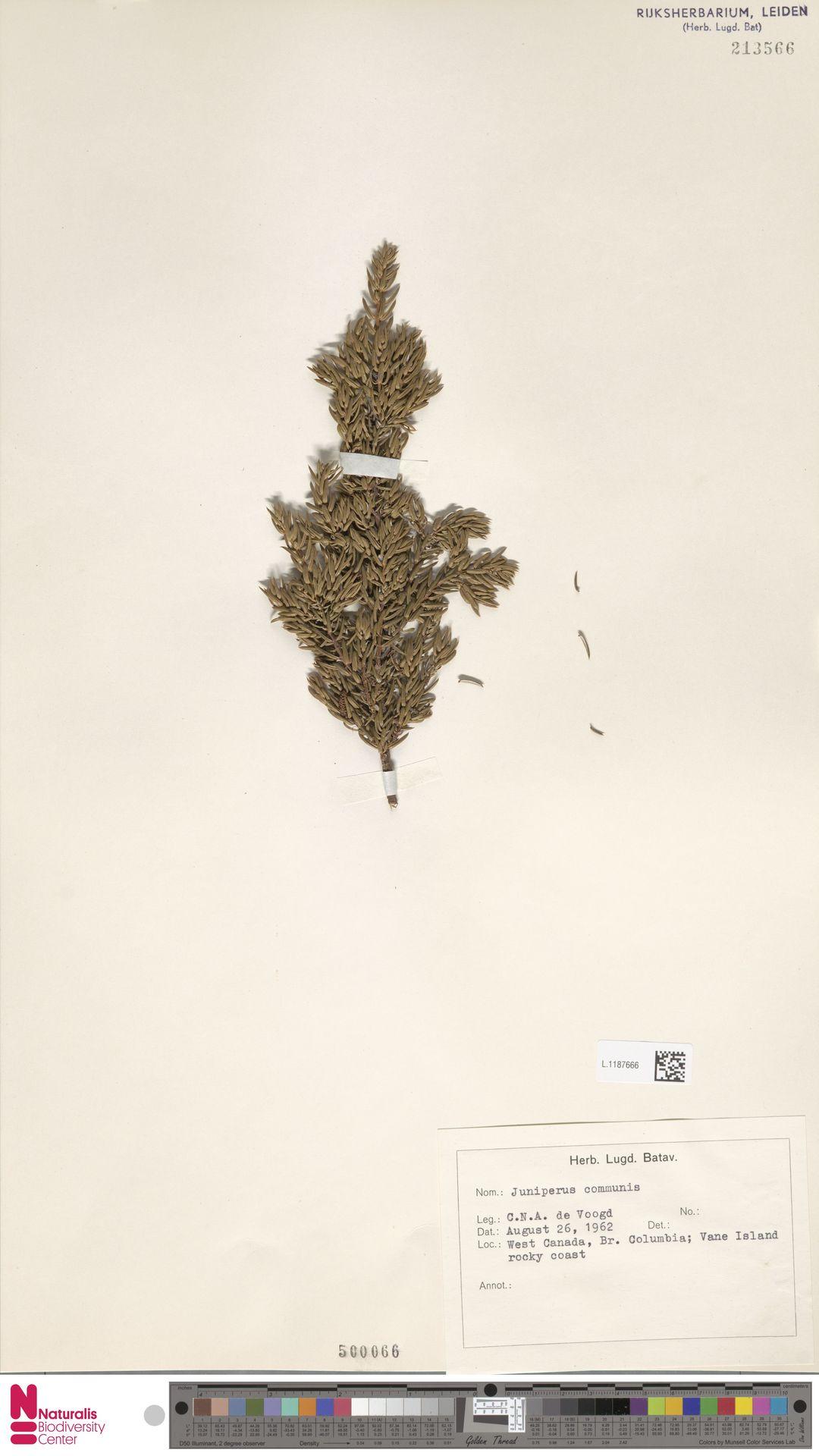L.1187666 | Juniperus communis L.