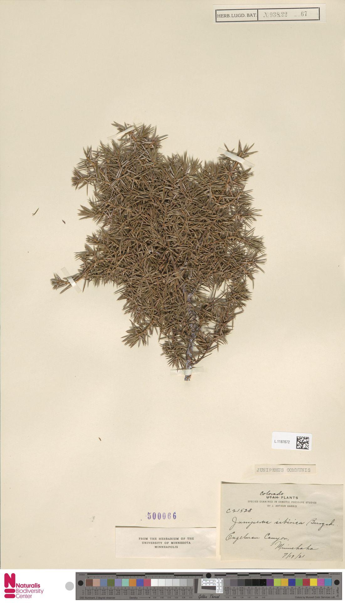 L.1187672 | Juniperus communis L.
