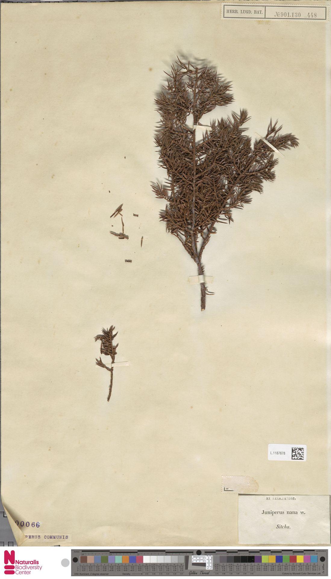 L.1187678 | Juniperus communis L.