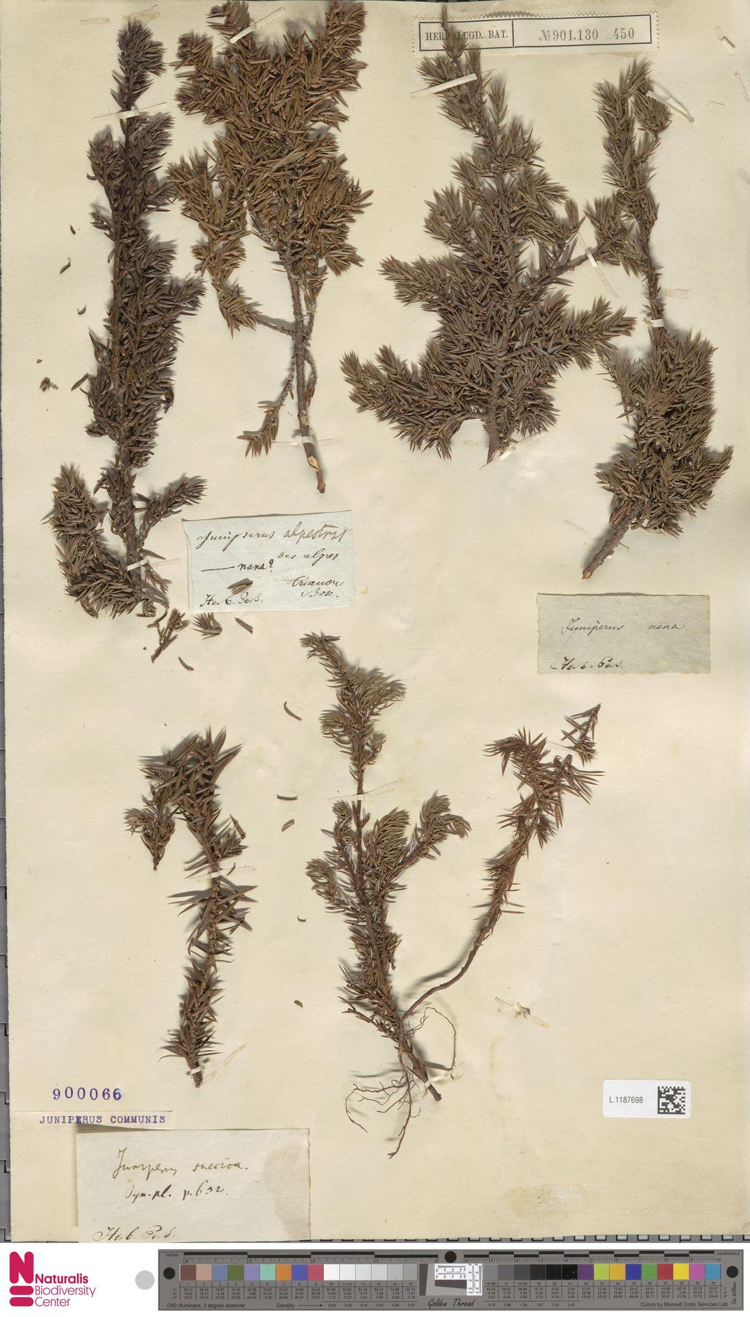 L.1187698 | Juniperus communis L.
