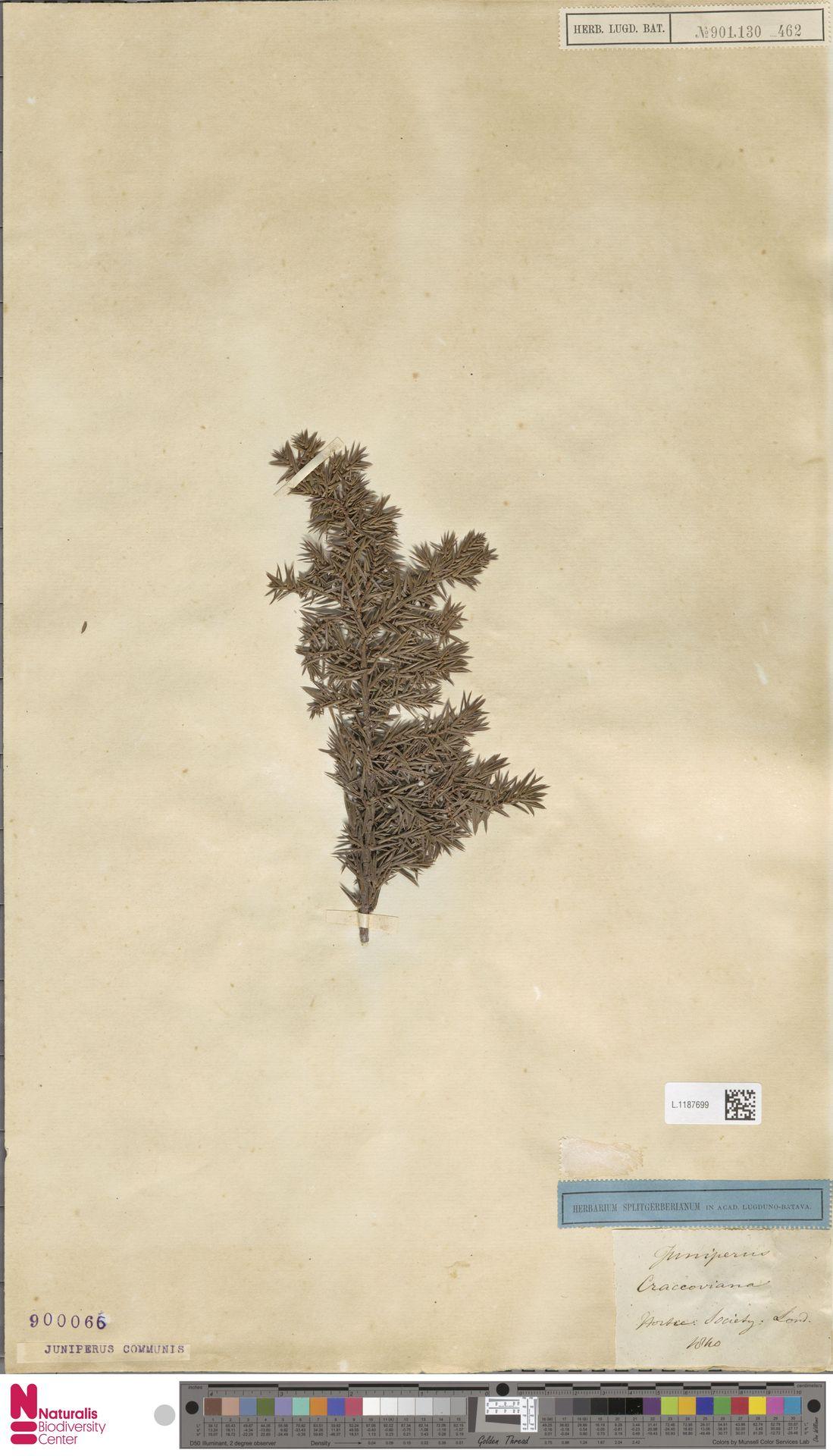 L.1187699 | Juniperus communis L.