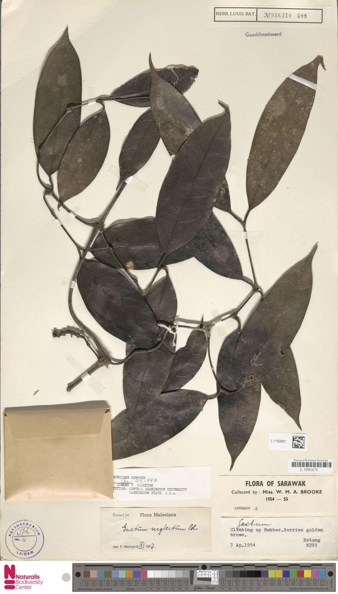 L.1193007 | Gnetum neglectum Blume