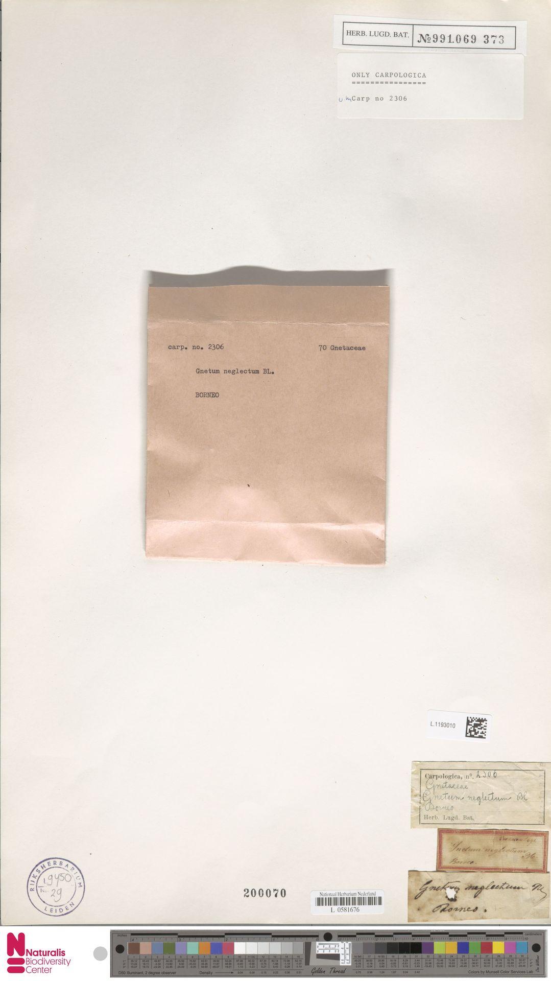L.1193010 | Gnetum neglectum Blume