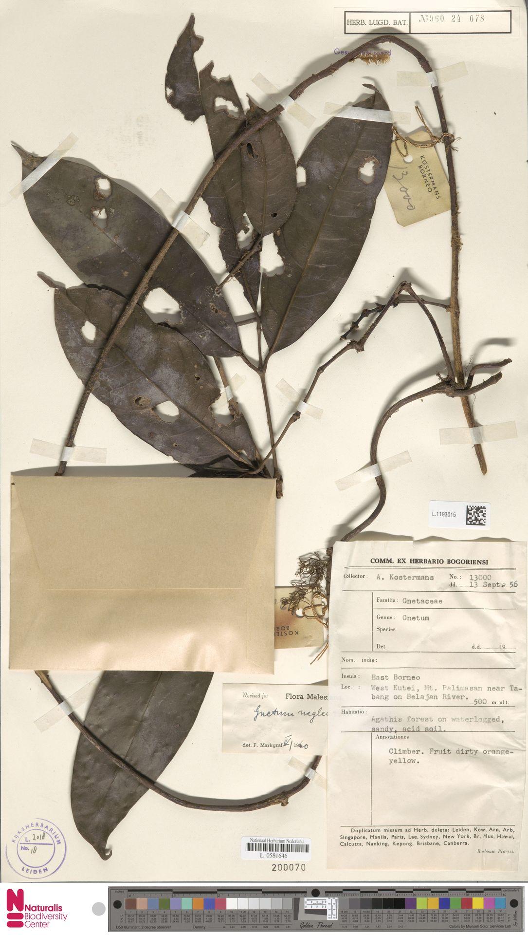 L.1193015 | Gnetum neglectum Blume