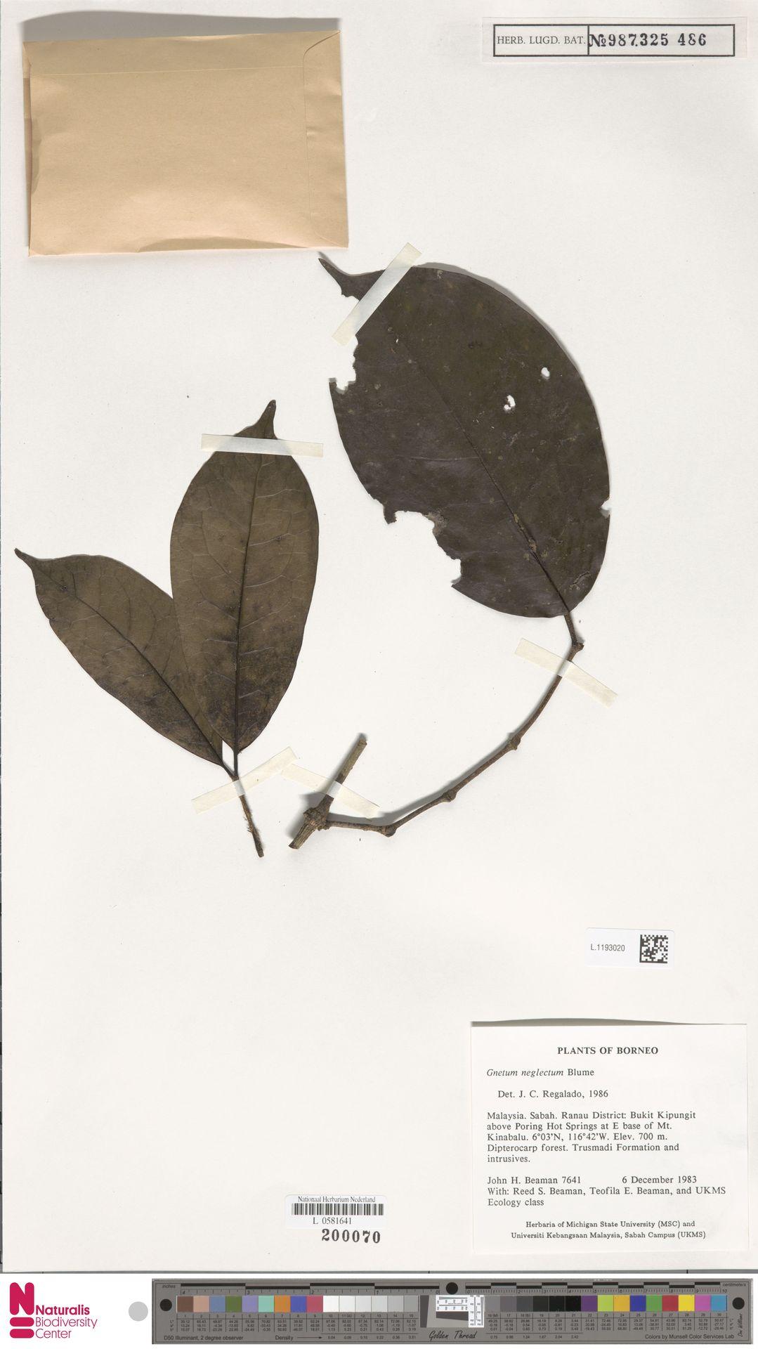 L.1193020 | Gnetum neglectum Blume