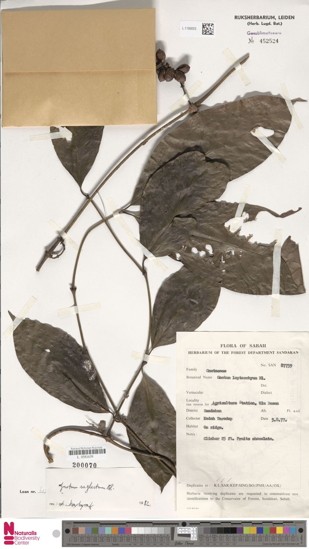 L.1193023 | Gnetum neglectum Blume