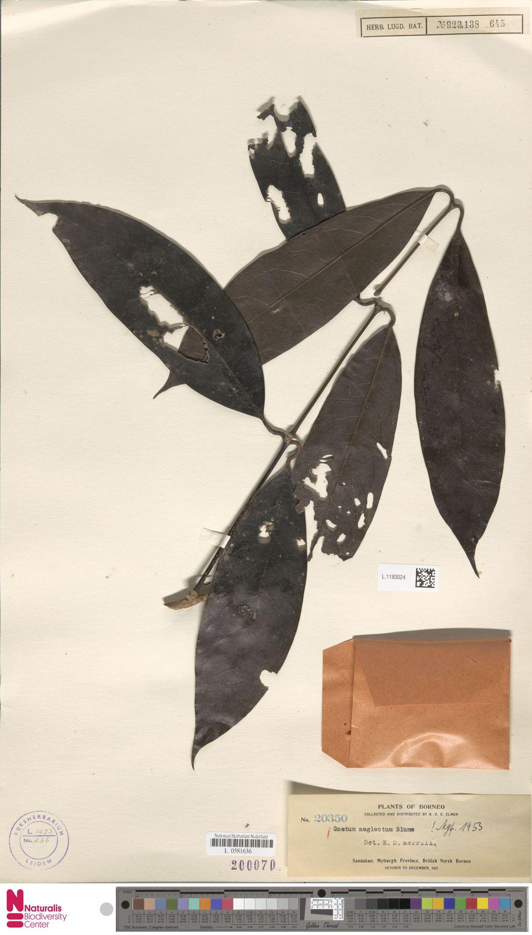 L.1193024 | Gnetum neglectum Blume