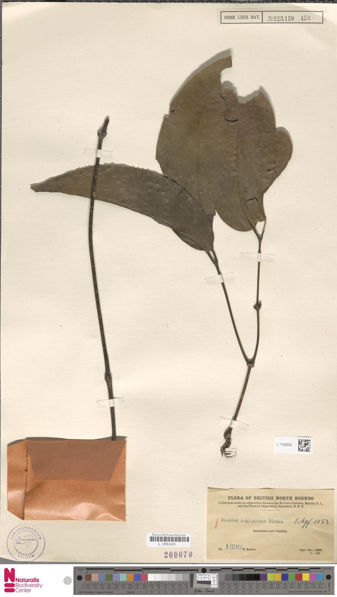 L.1193025 | Gnetum neglectum Blume