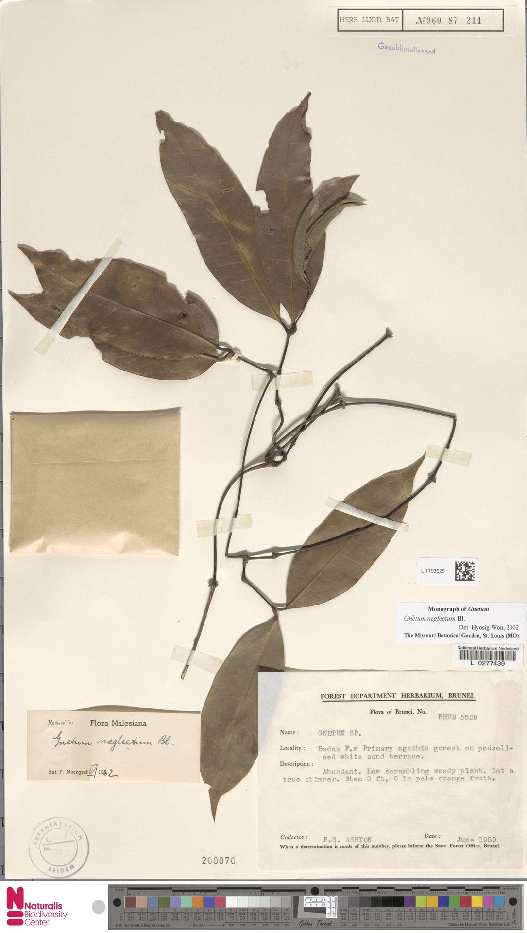 L.1193029 | Gnetum neglectum Blume