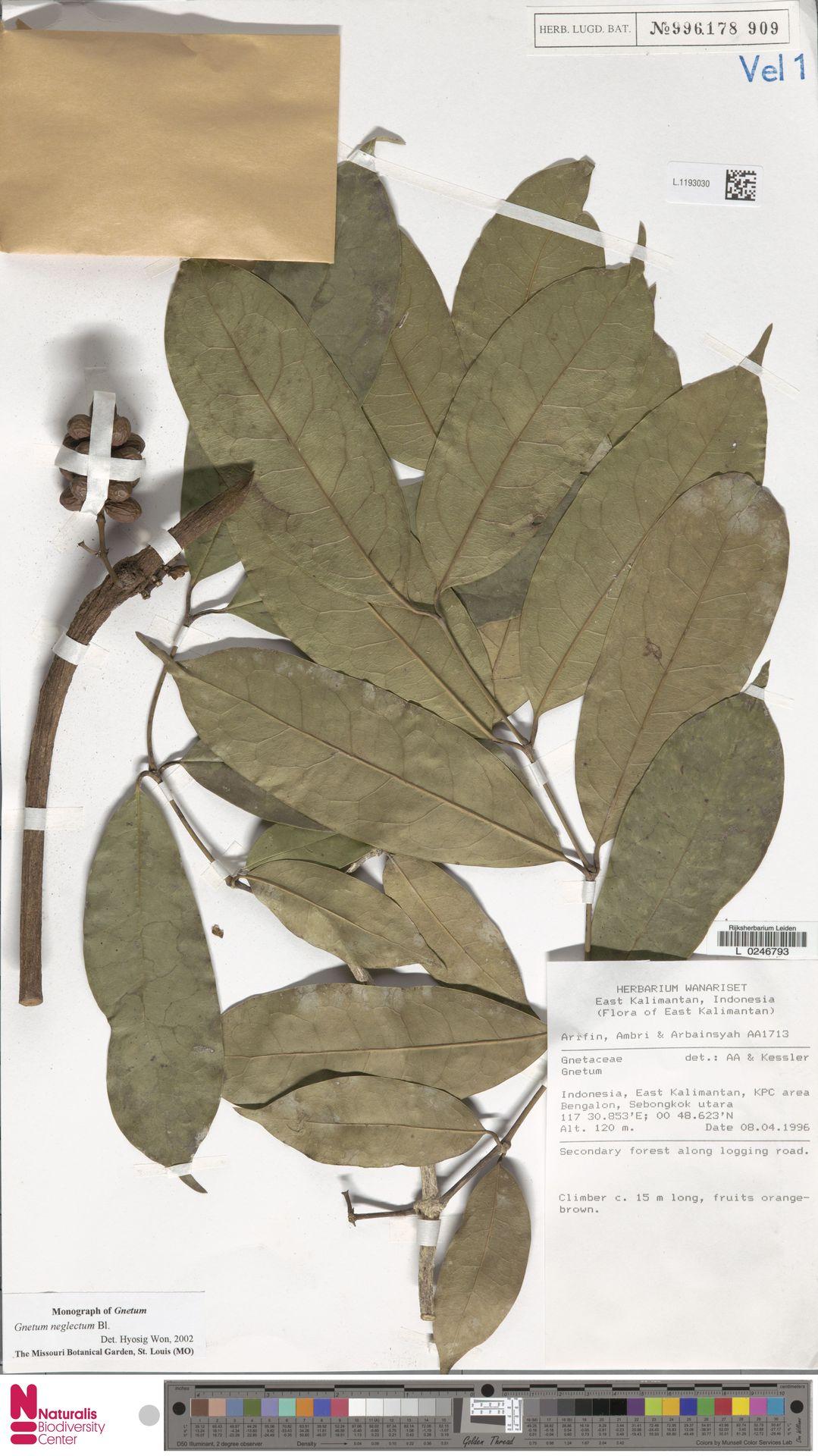 L.1193030 | Gnetum neglectum Blume