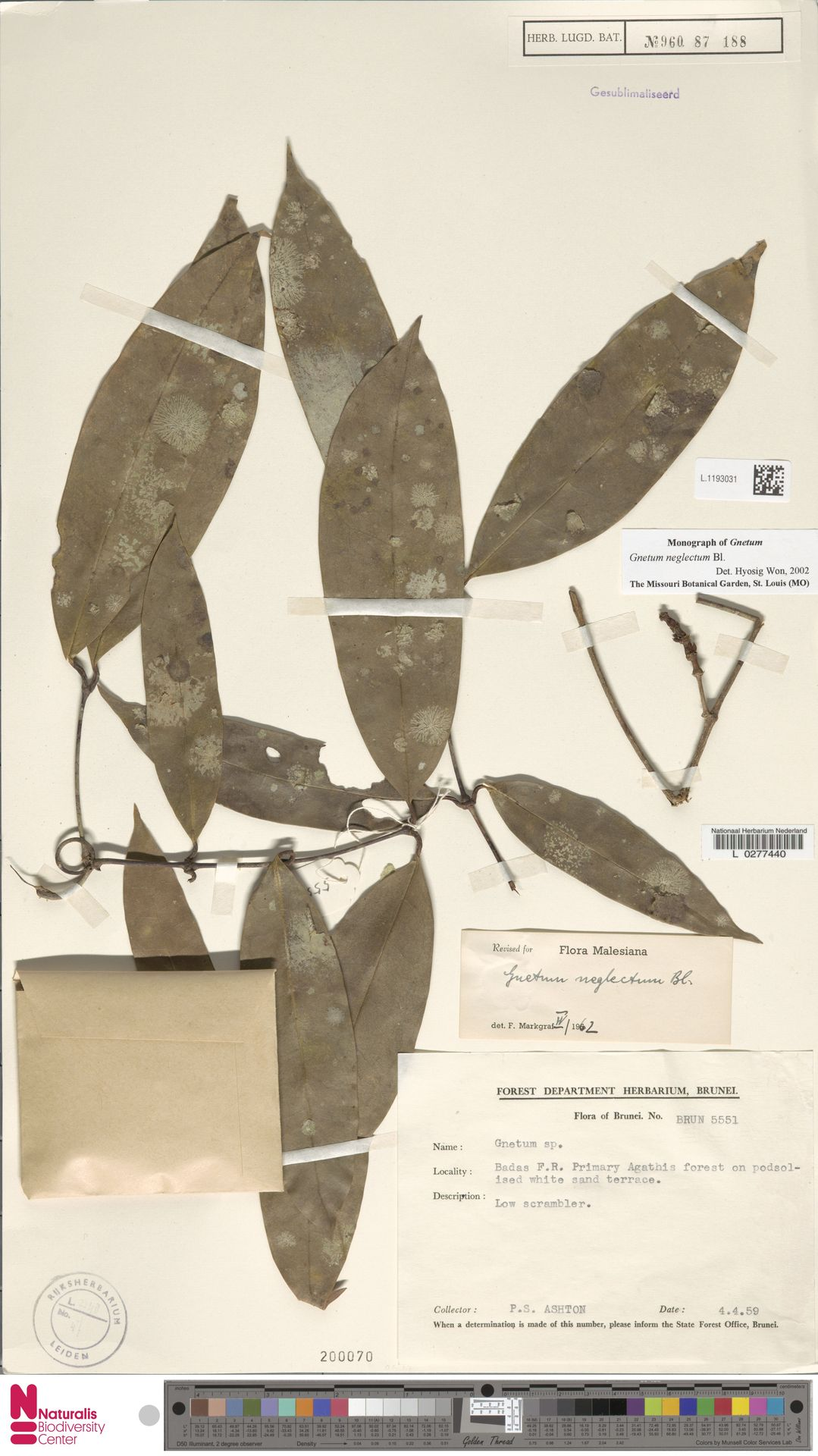 L.1193031 | Gnetum neglectum Blume