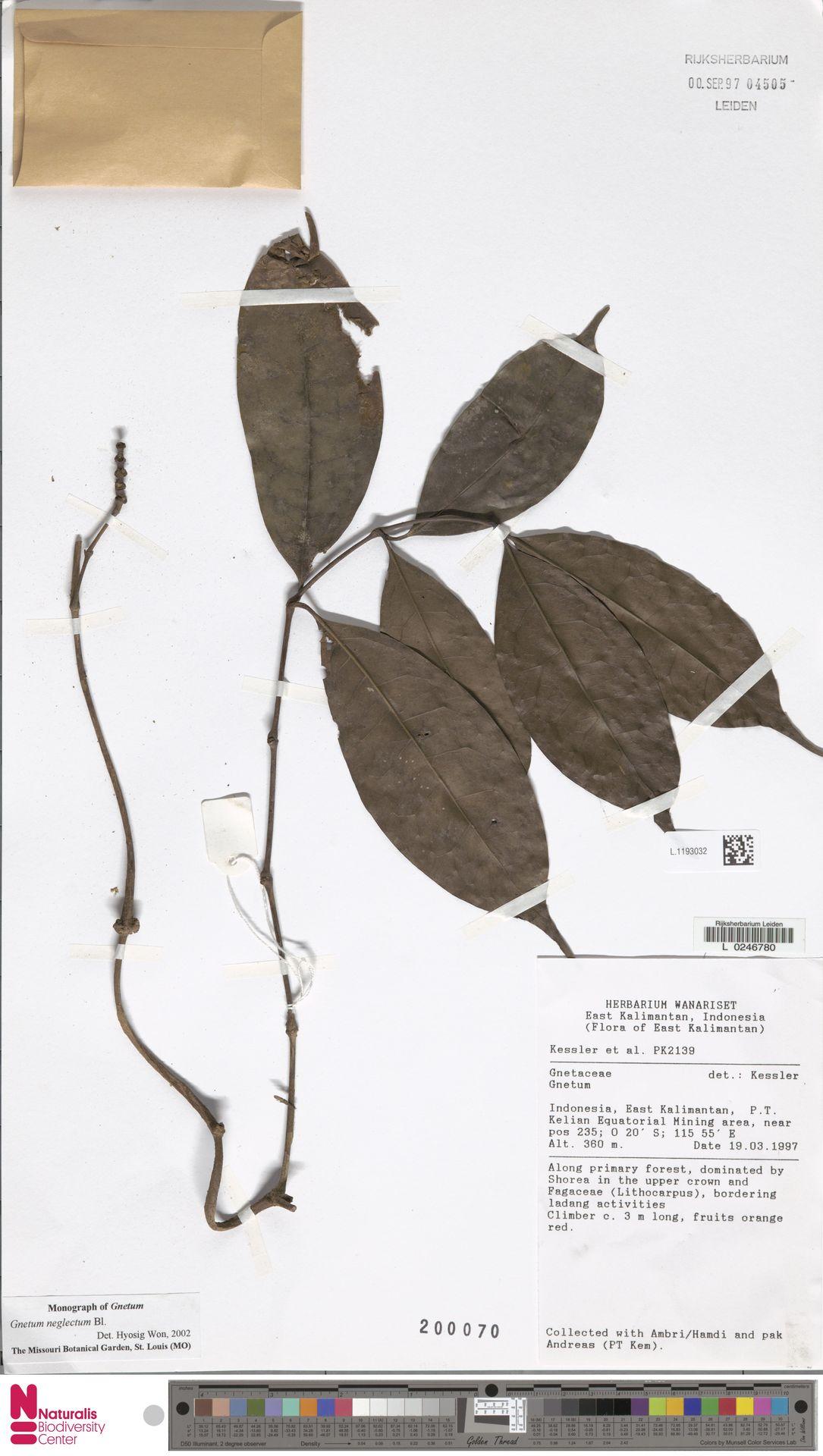 L.1193032 | Gnetum neglectum Blume