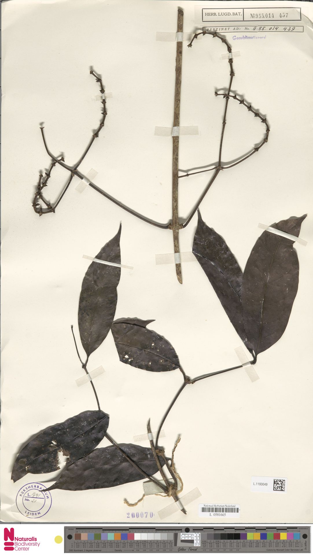L.1193049 | Gnetum neglectum Blume