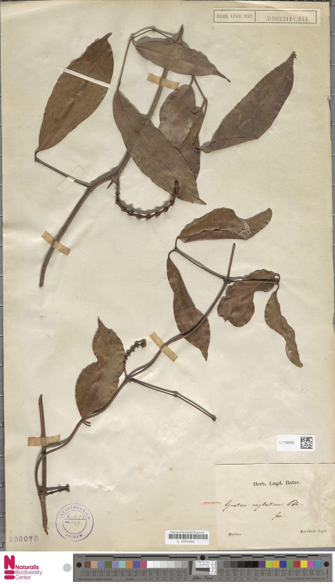 L.1193050 | Gnetum neglectum Blume