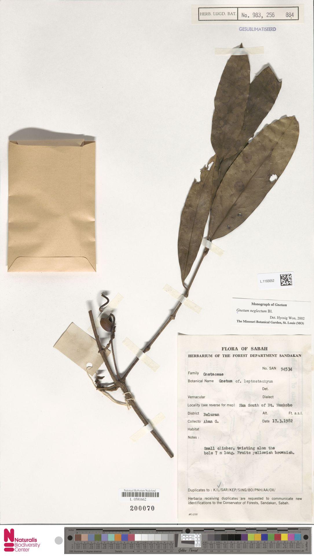 L.1193052 | Gnetum neglectum Blume