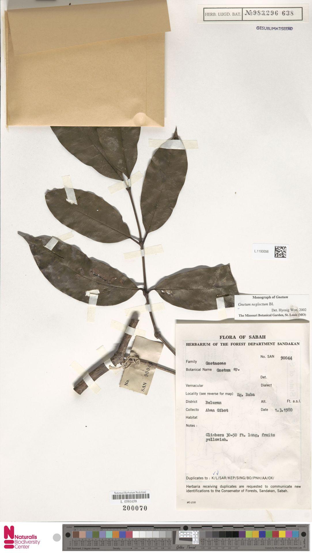 L.1193056 | Gnetum neglectum Blume