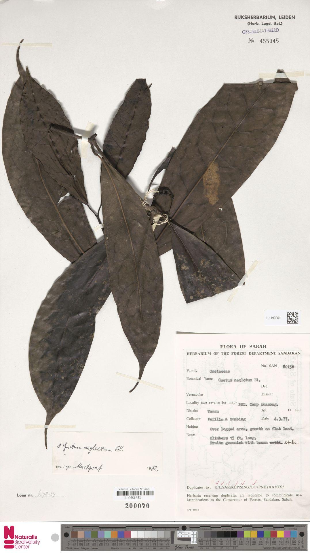 L.1193061 | Gnetum neglectum Blume