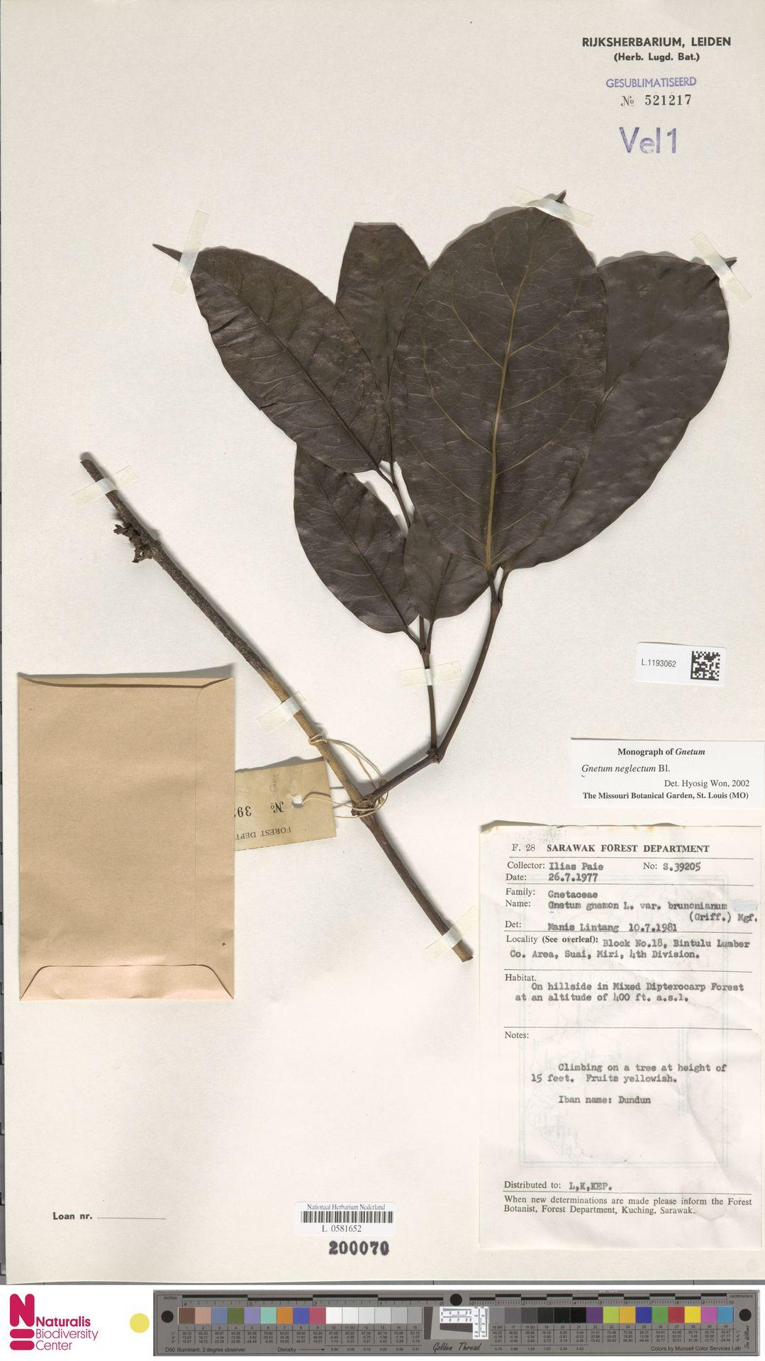 L.1193062   Gnetum neglectum Blume