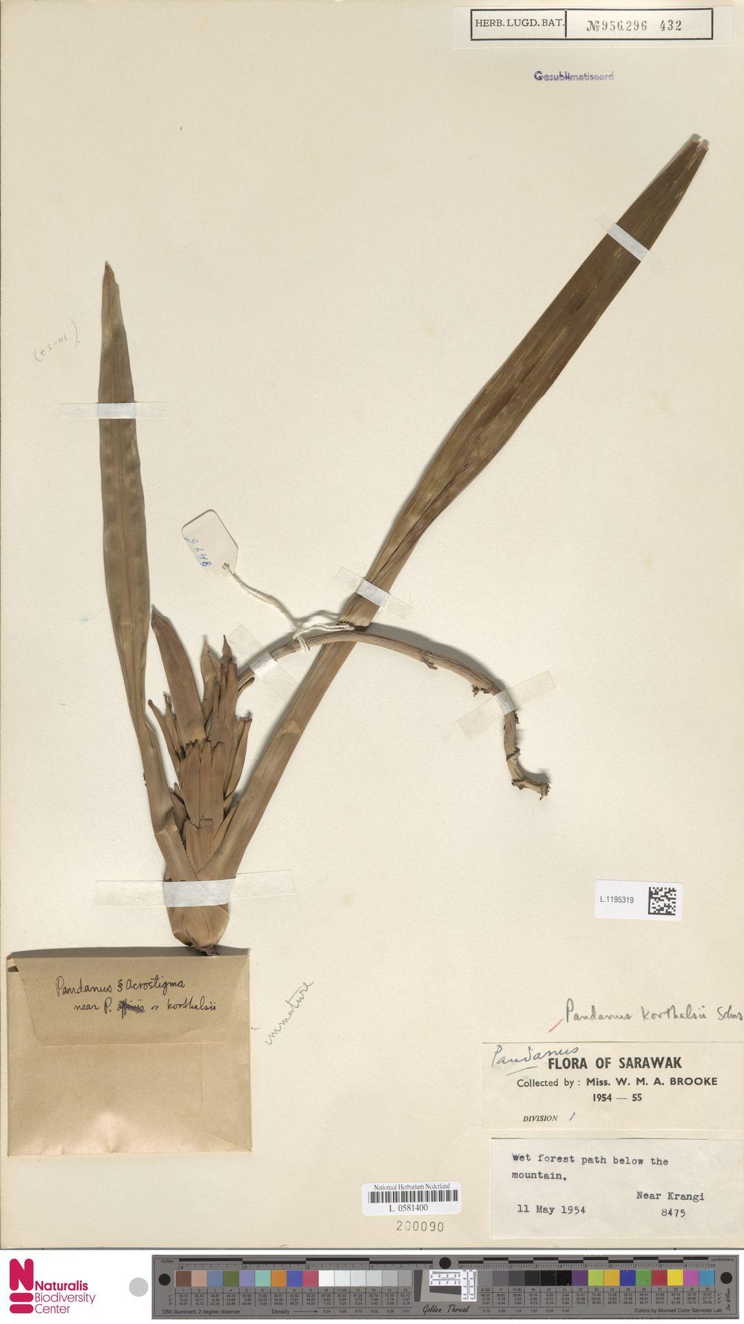L.1195319 | Benstonea korthalsii (Solms) Callm. & Buerki