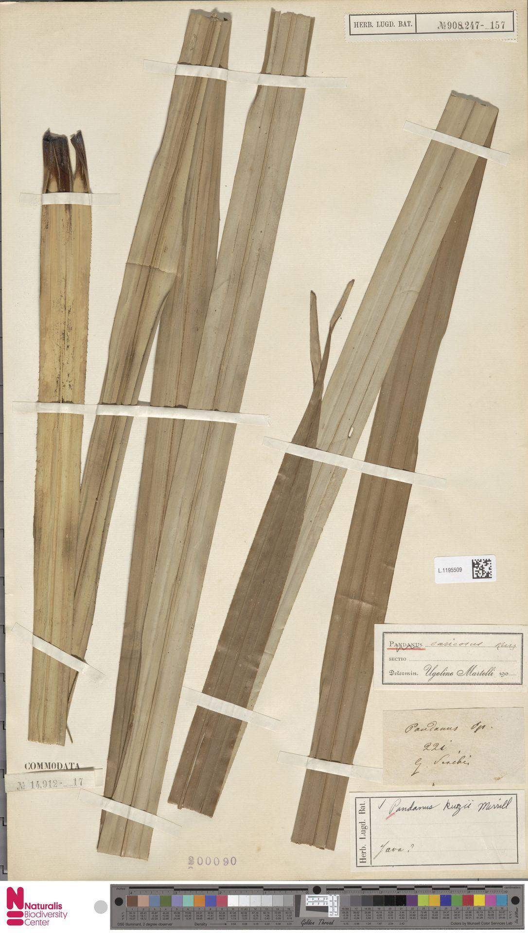 L.1195509 | Benstonea kurzii (Merr.) Callm. & Buerki
