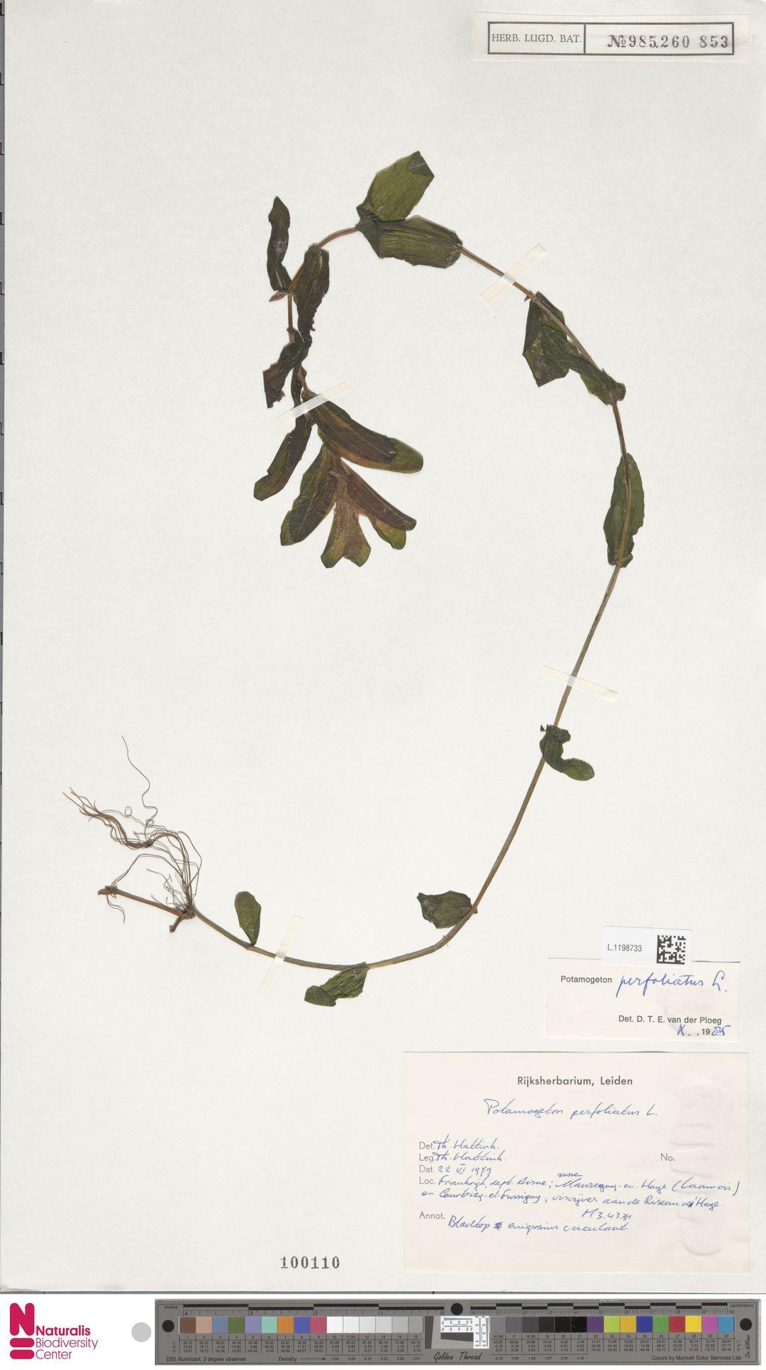 L.1198733 | Potamogeton perfoliatus L.