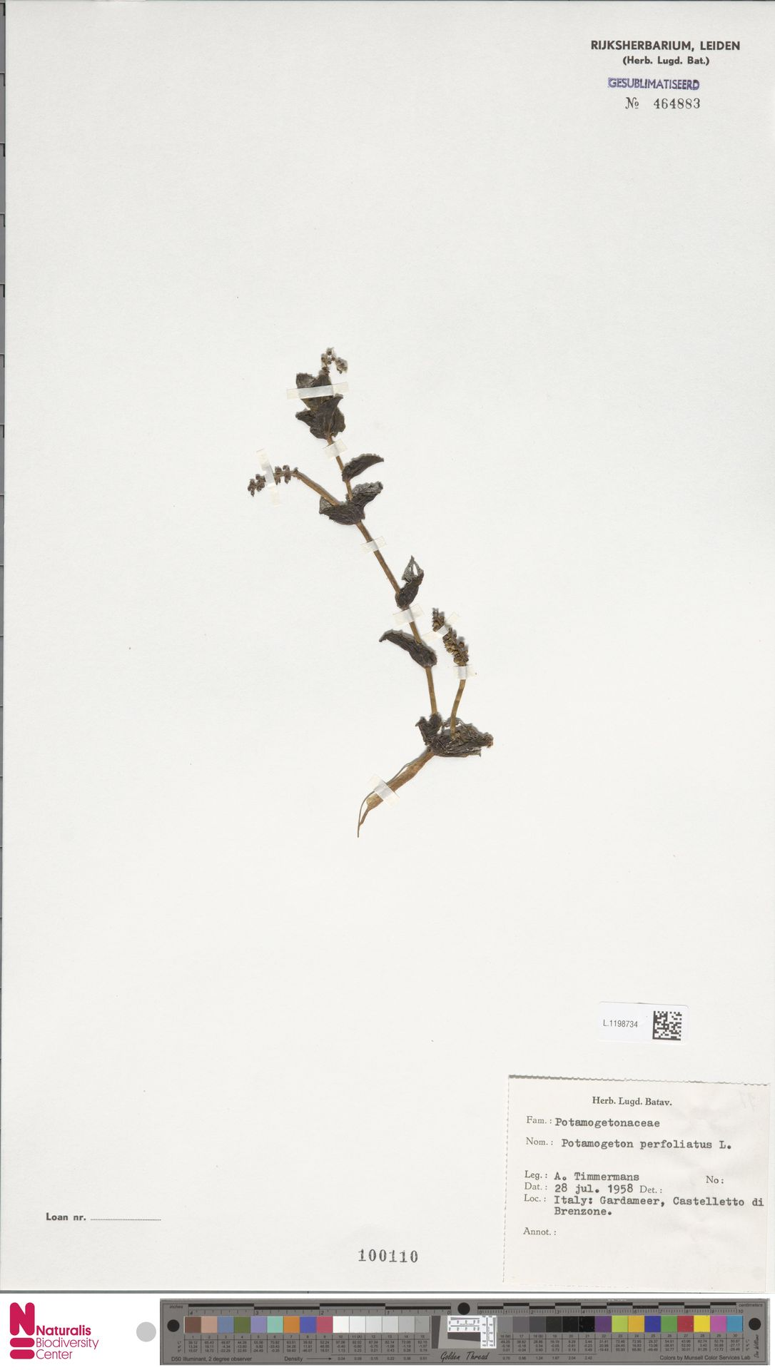 L.1198734 | Potamogeton perfoliatus L.