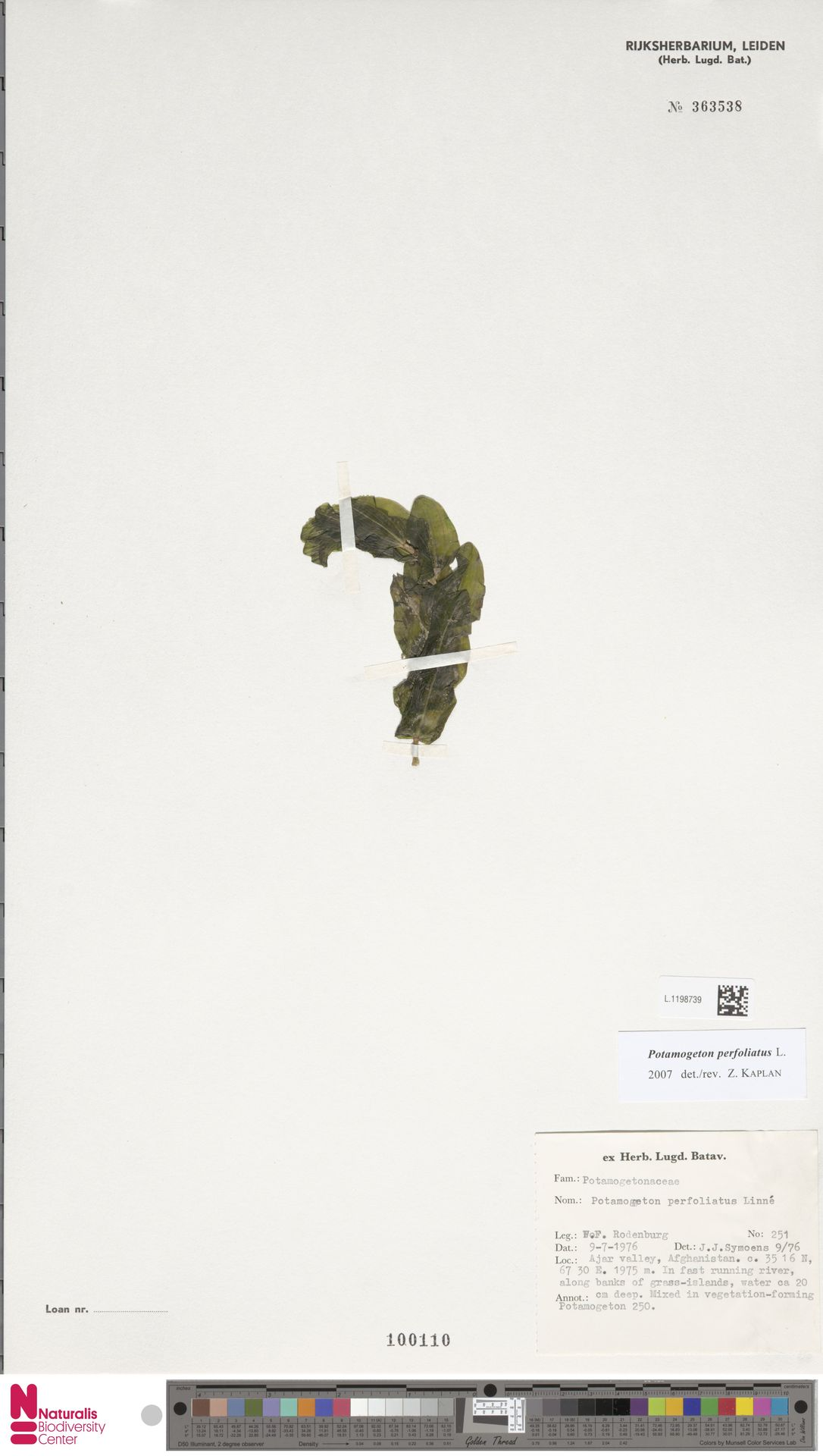 L.1198739 | Potamogeton perfoliatus L.