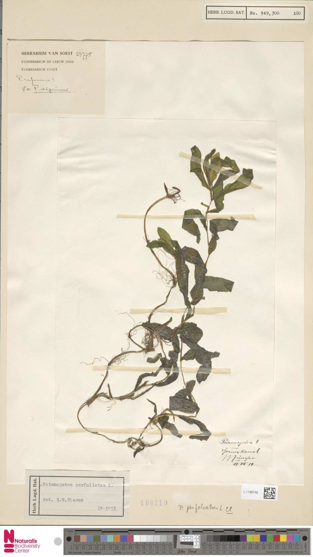 L.1198748 | Potamogeton perfoliatus L.