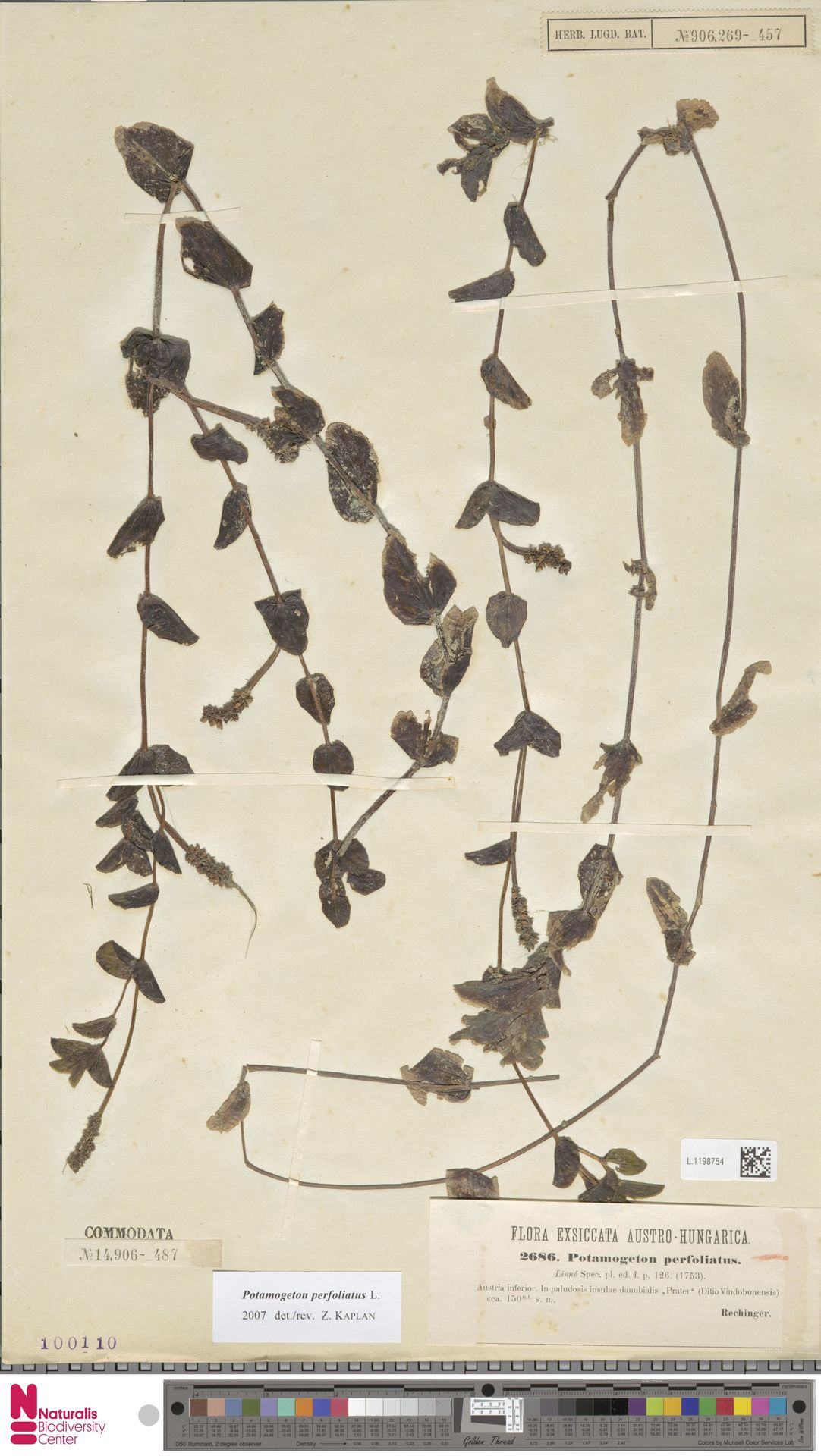 L.1198754   Potamogeton perfoliatus L.