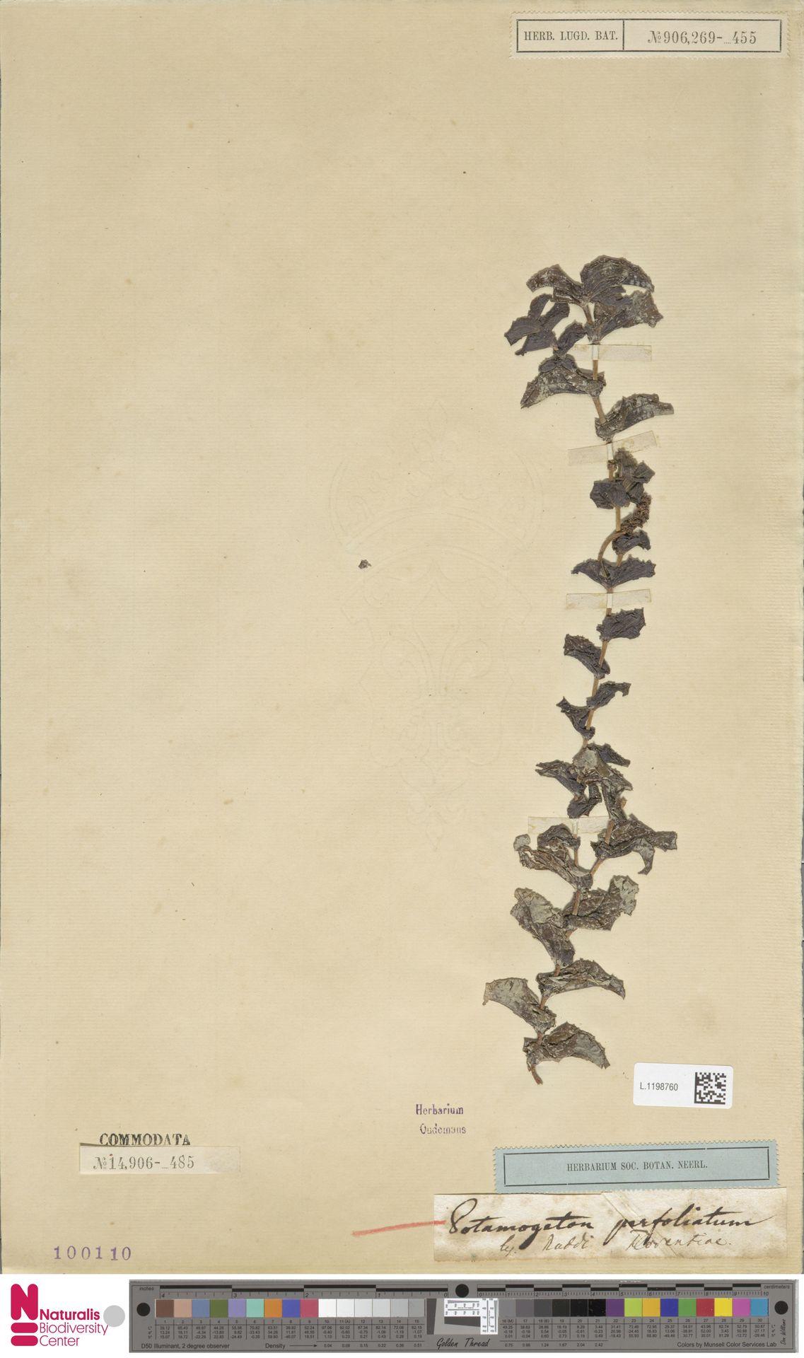 L.1198760 | Potamogeton perfoliatus L.