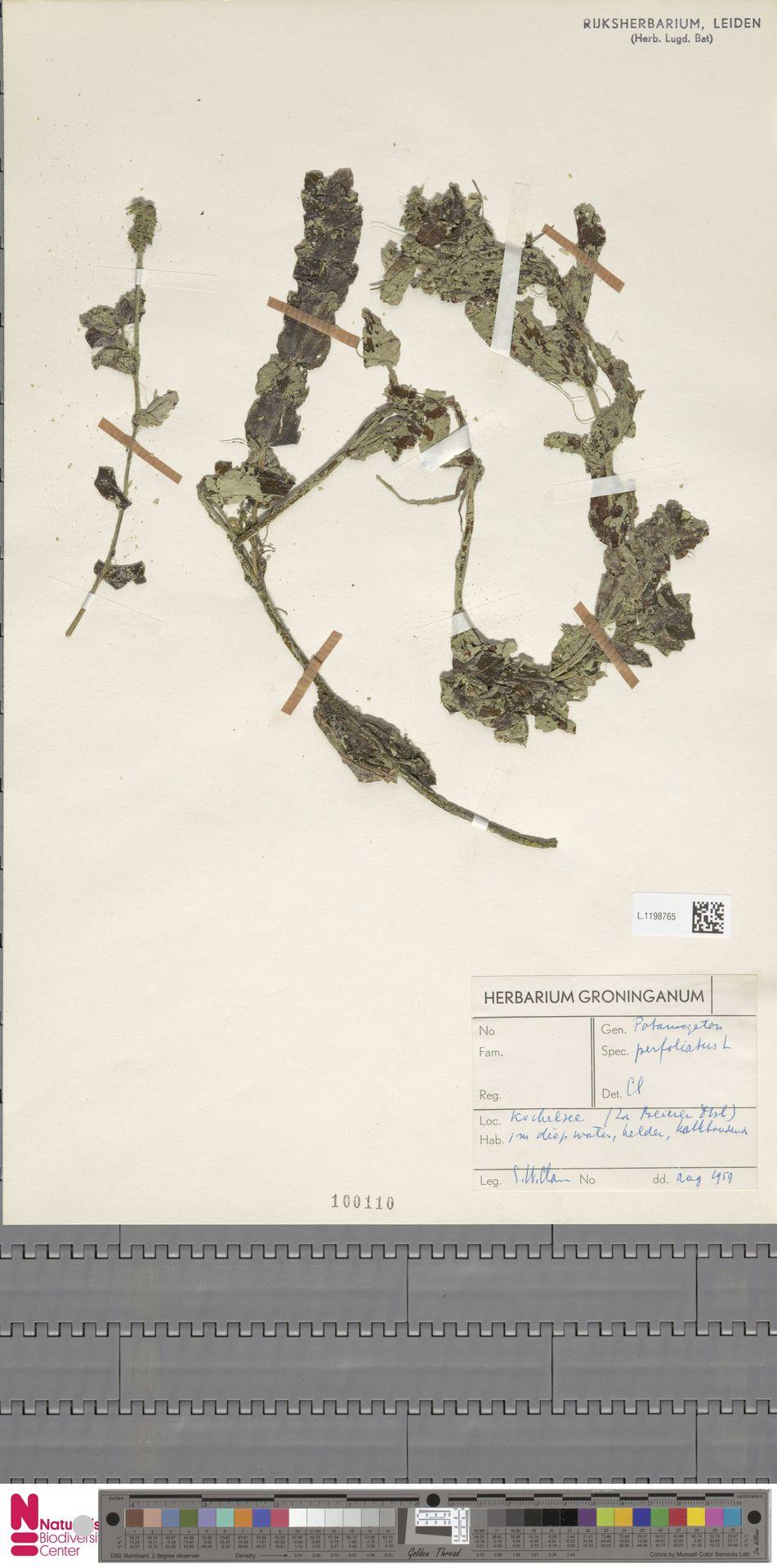 L.1198765 | Potamogeton perfoliatus L.