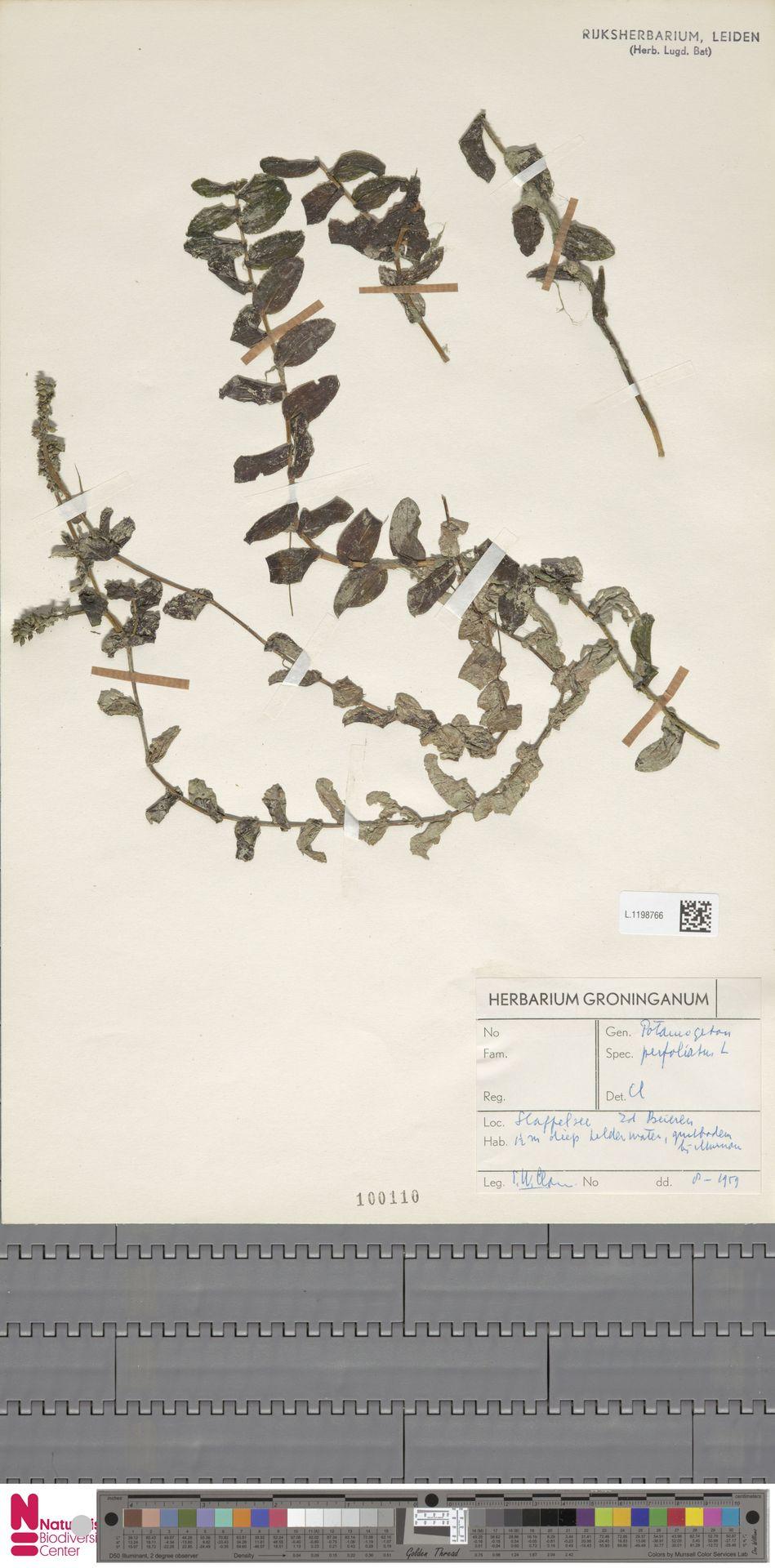 L.1198766 | Potamogeton perfoliatus L.